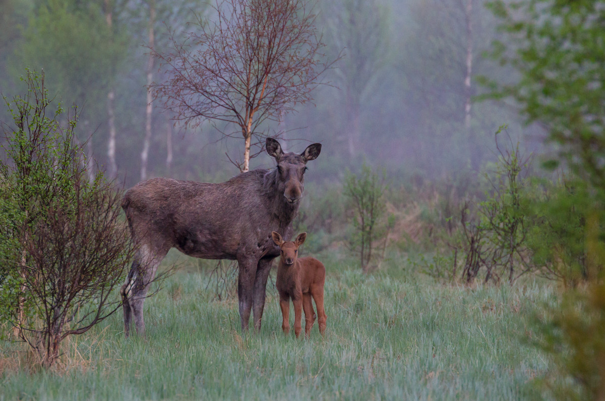 Moosecow with young calf...
