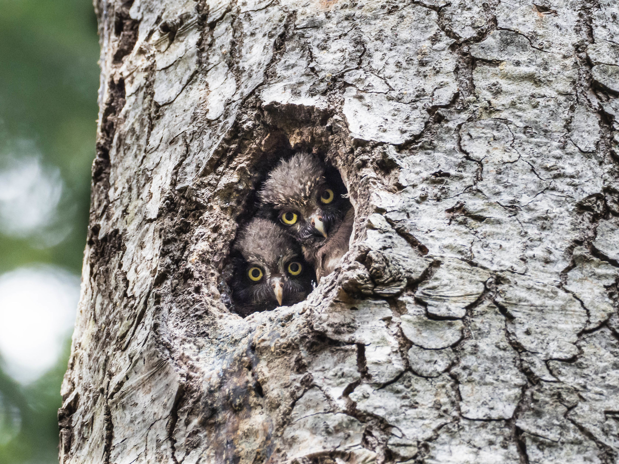 Crazy owl...