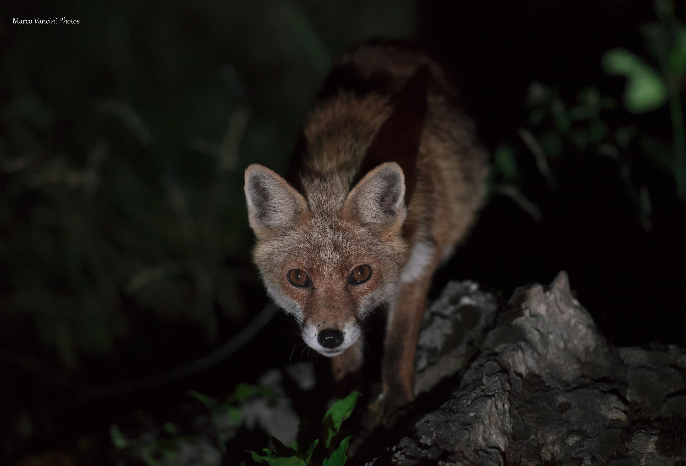 Curious Fox...