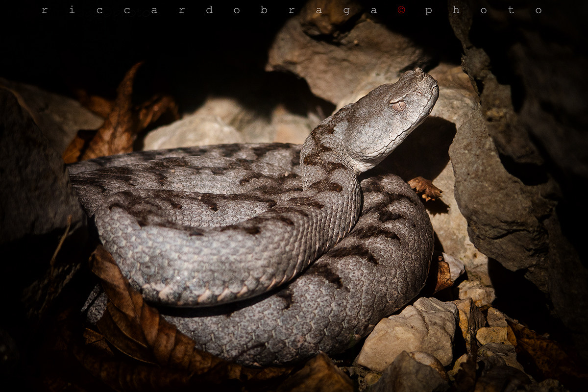 Viper from the horn (Vipera ammonytes)...