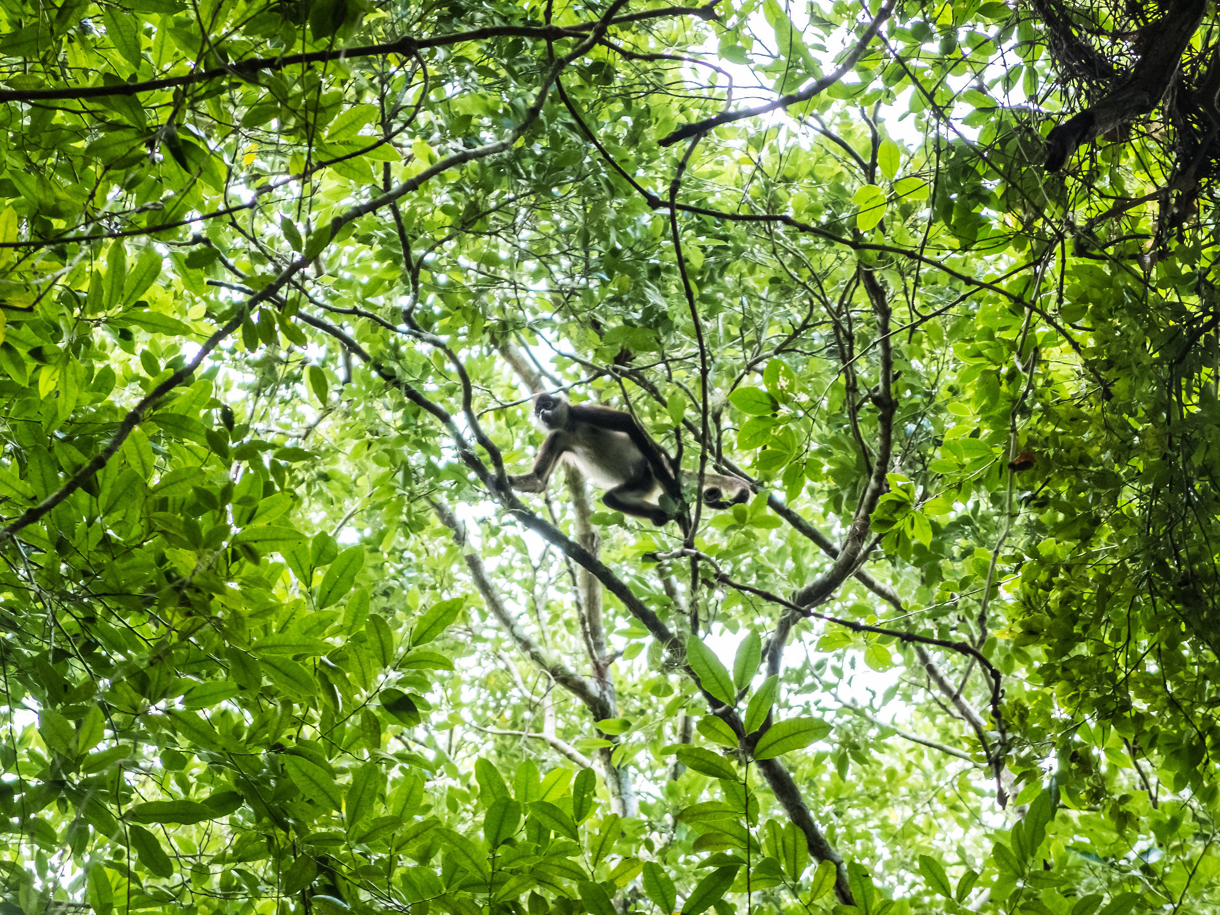 Monkey at Calakmul...