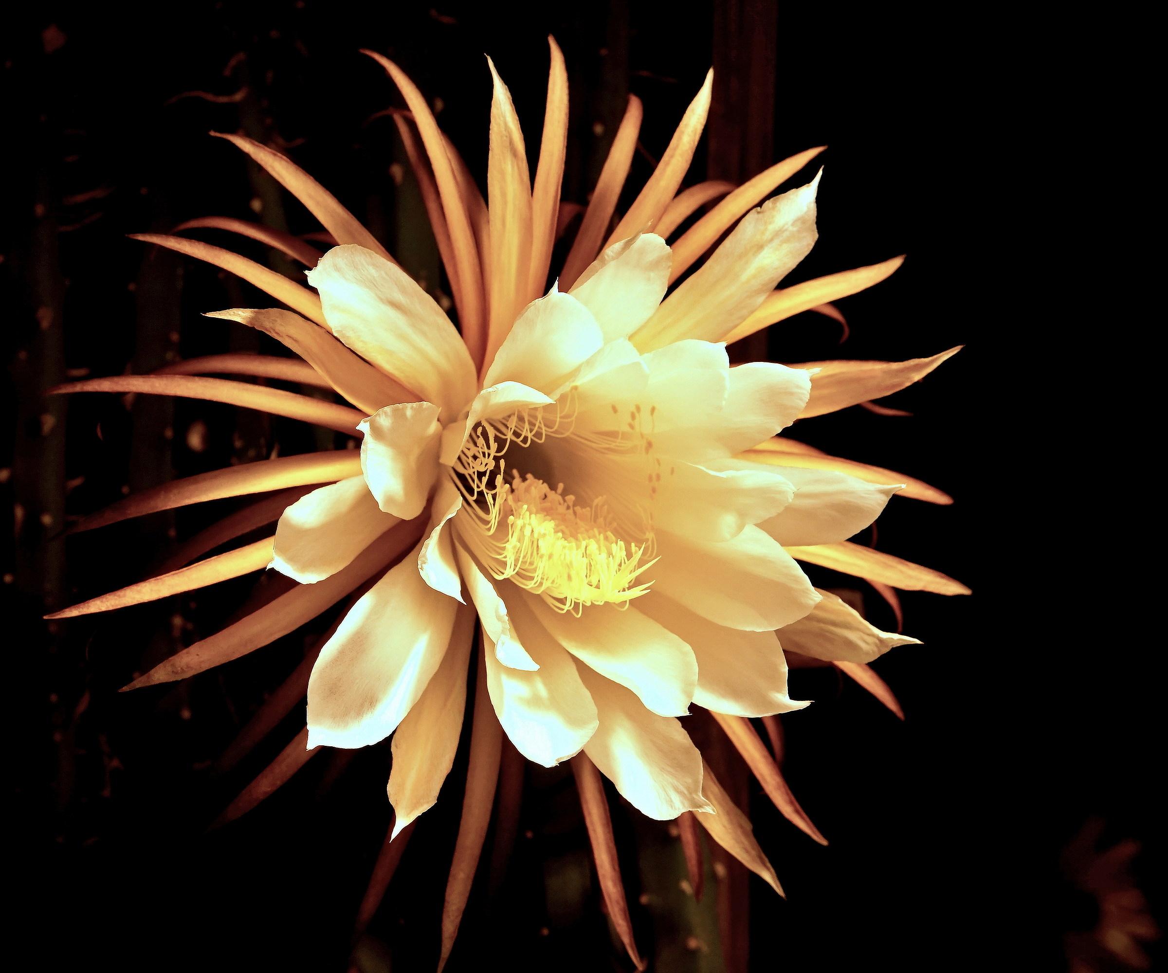 Blossom of Selenicereus...