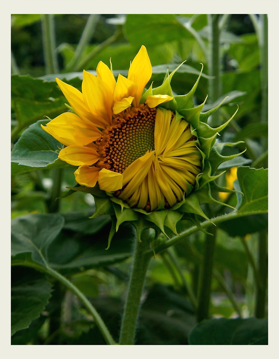 My ... almost sunflower...