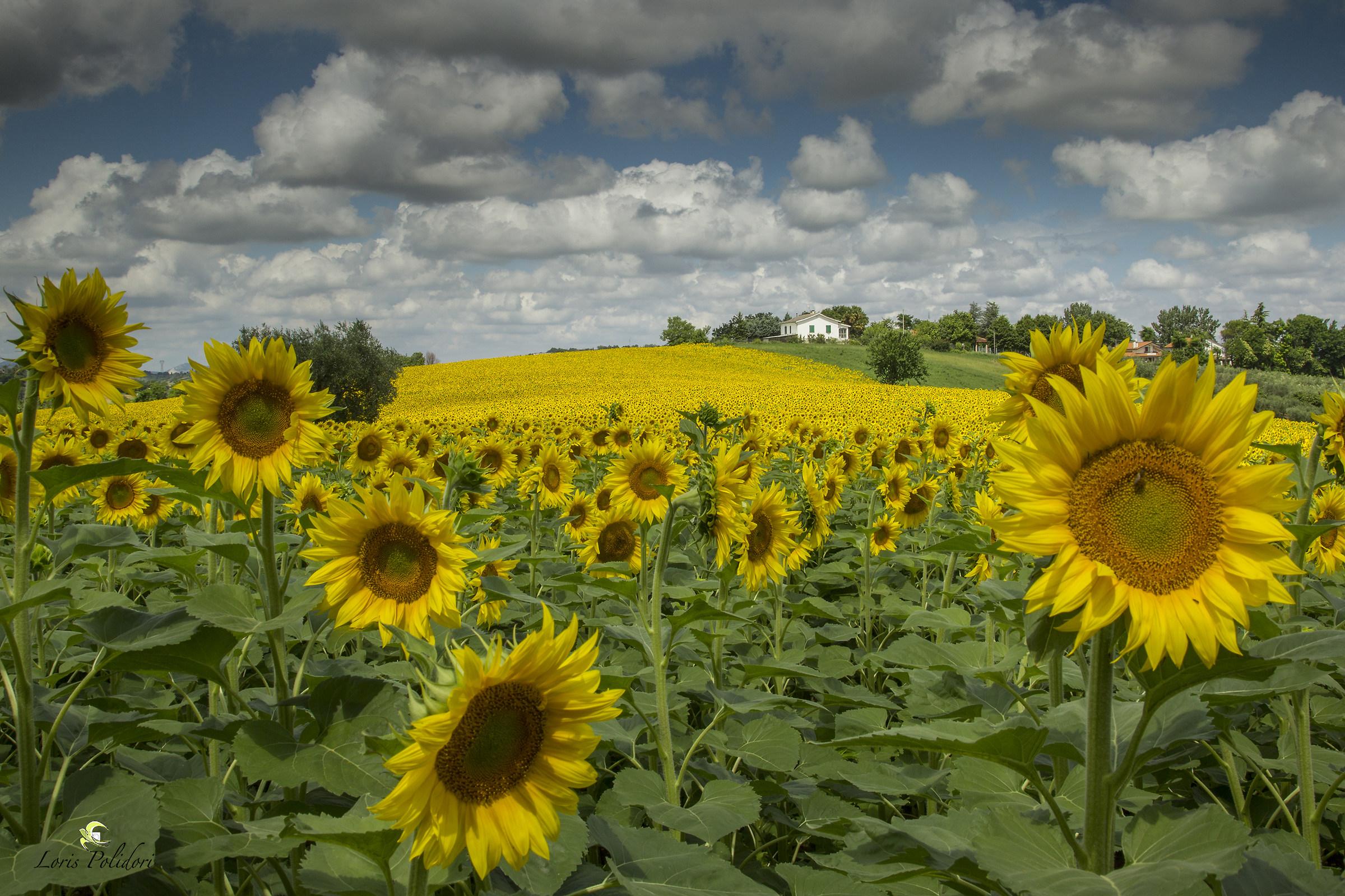 Sunflowers on my Rimini hills...