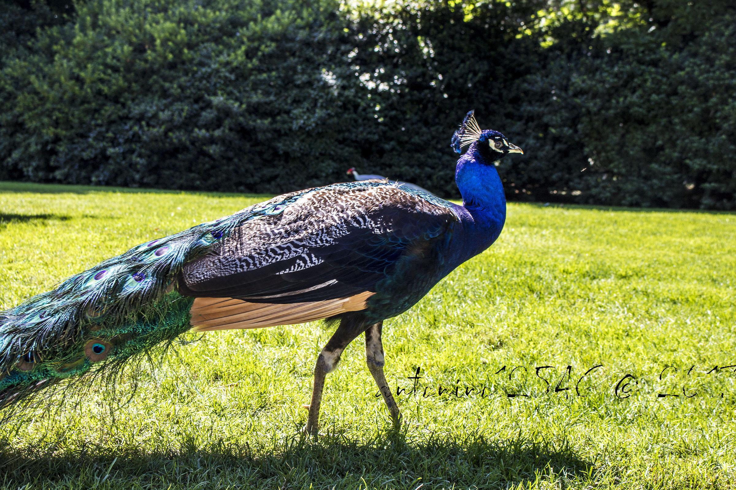Peacock...