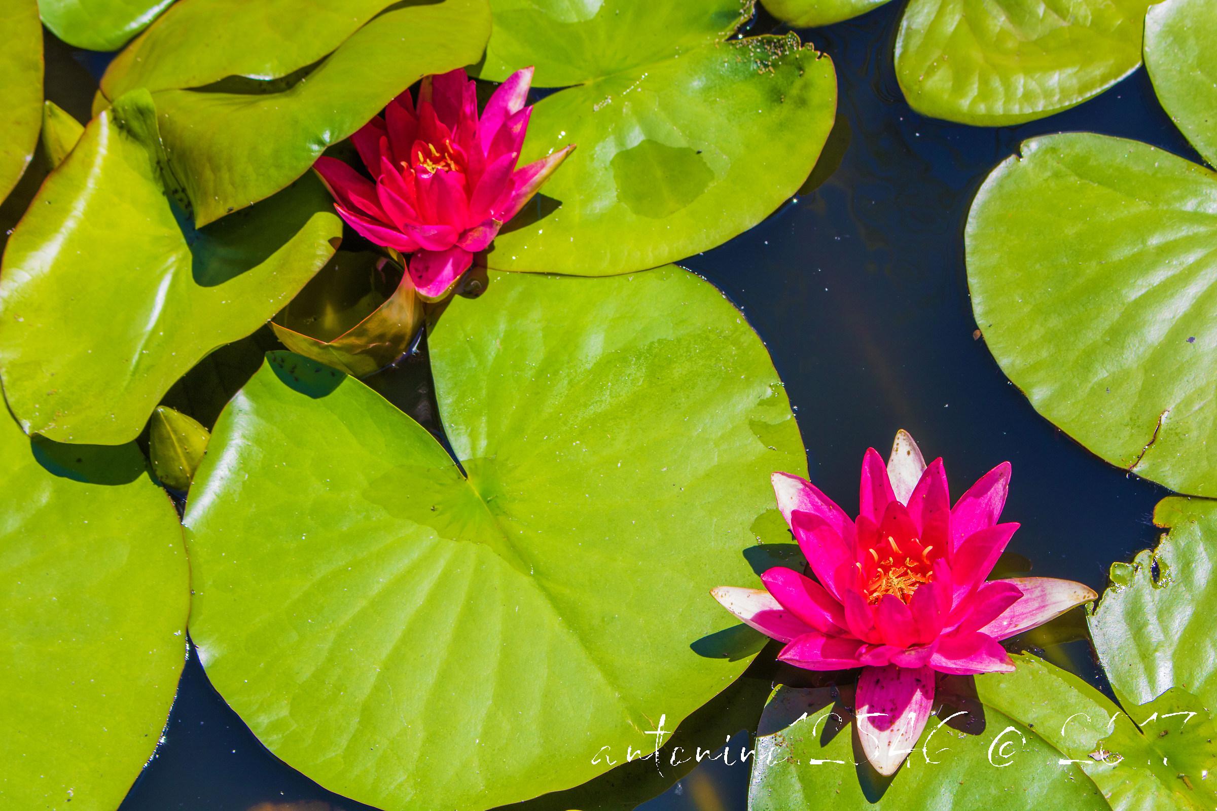 Waterlilies...