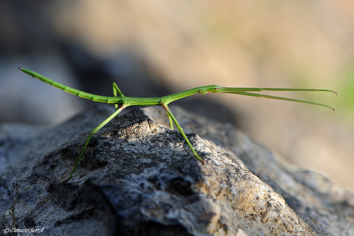 Stick insect...