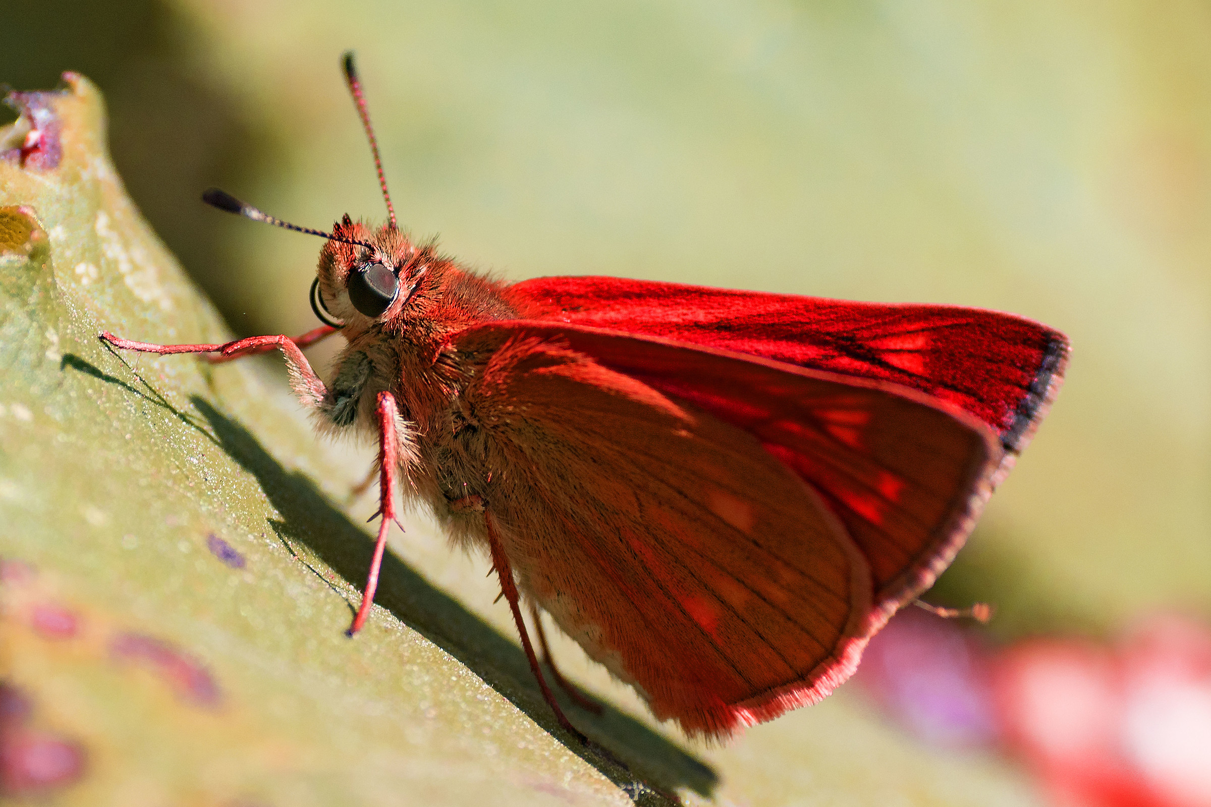Red butterfly...