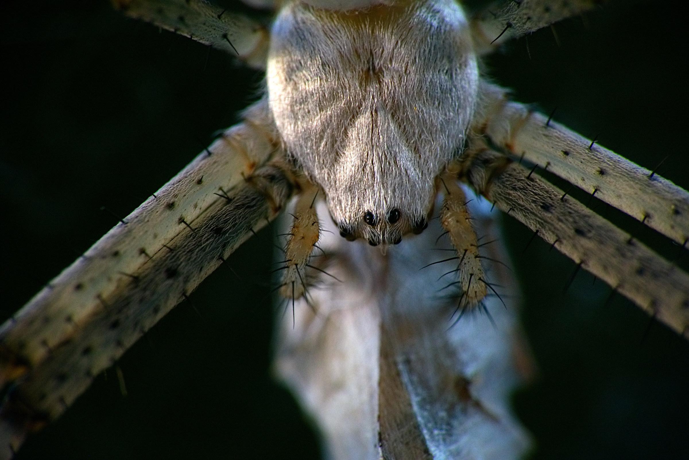 Wasp spider - detail...