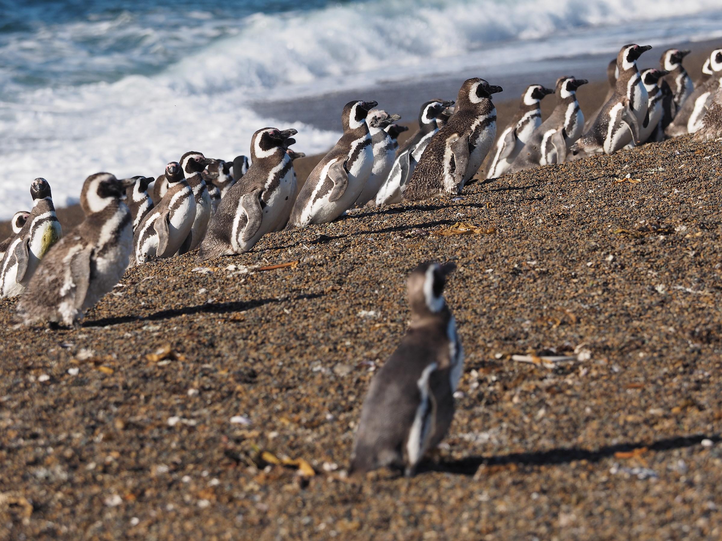 Patagonia. Punta Norte. Penguins...