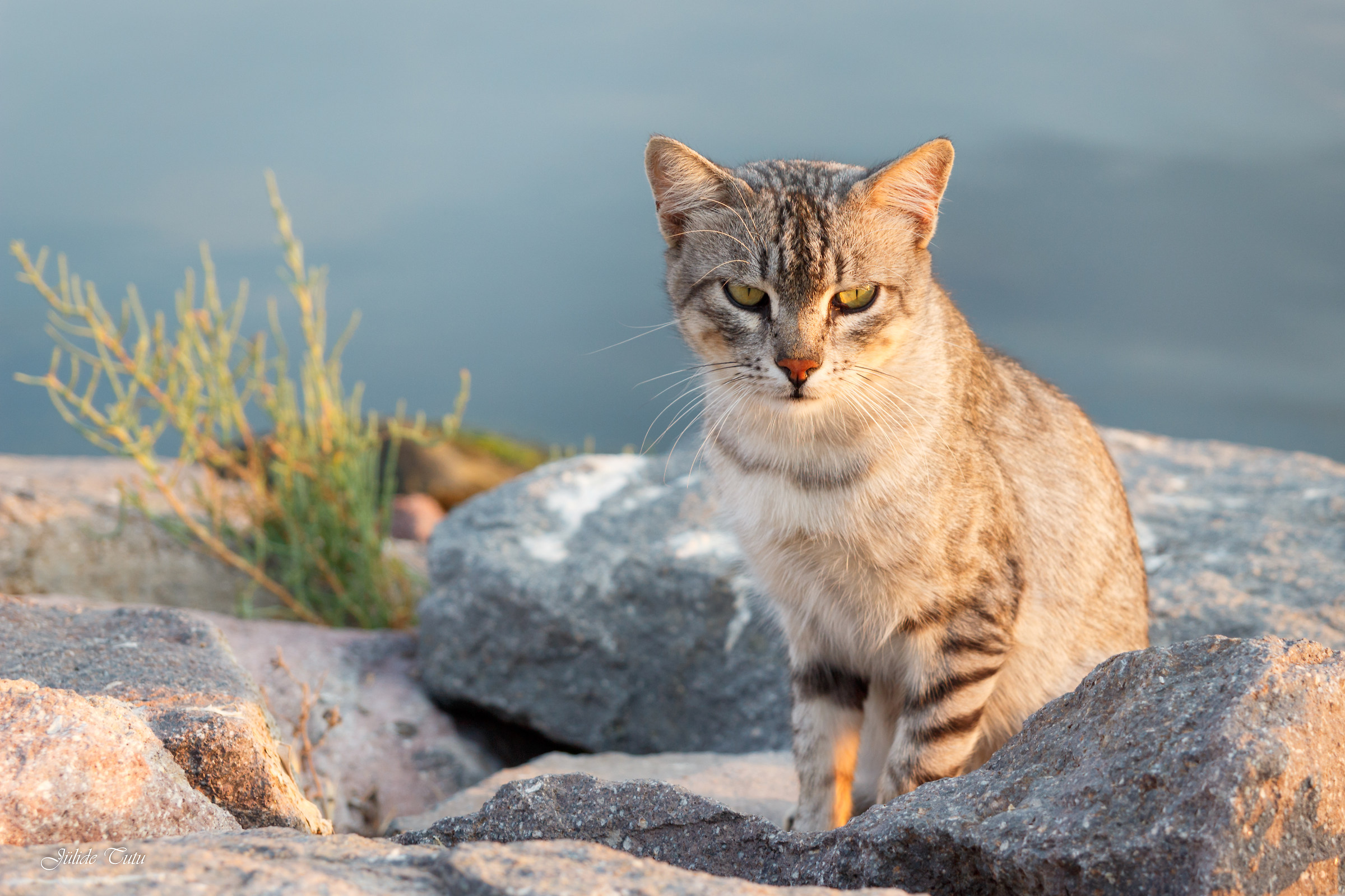 Tabby Cat...
