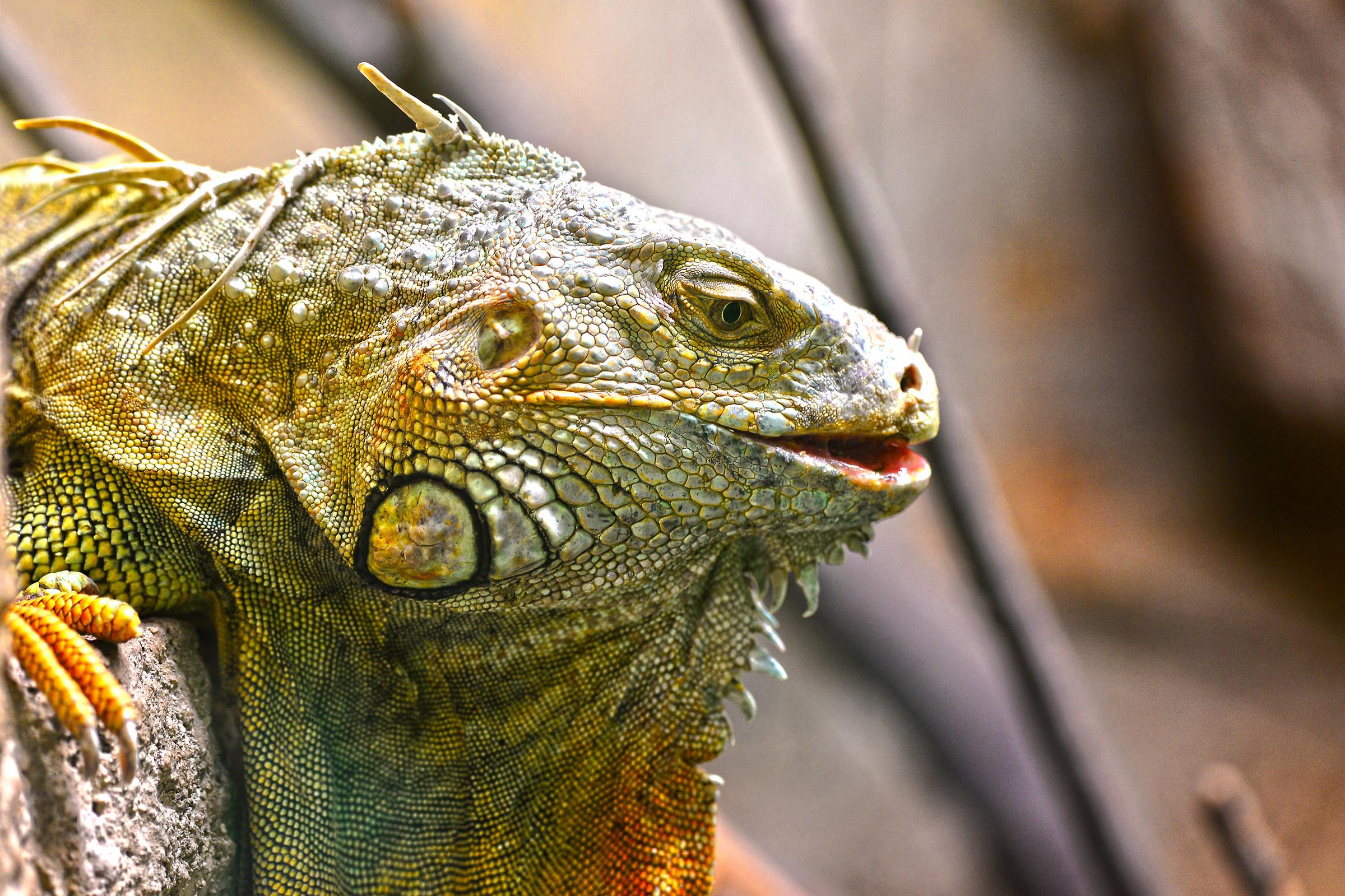 mr. Iguana...