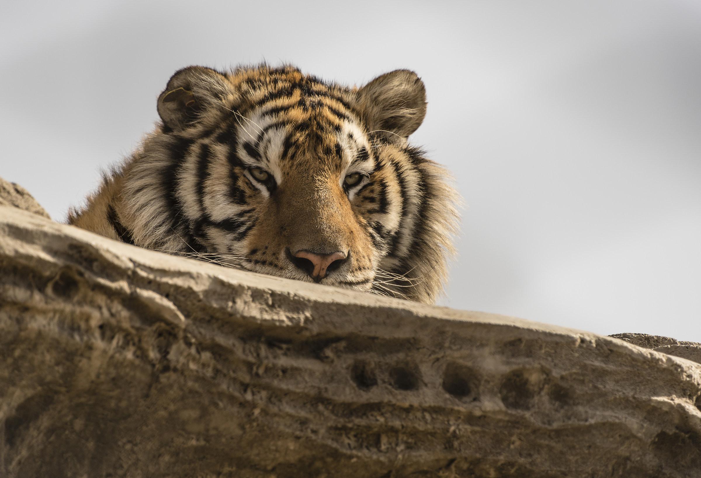 Siberia tiger park - Harbin, Cina...