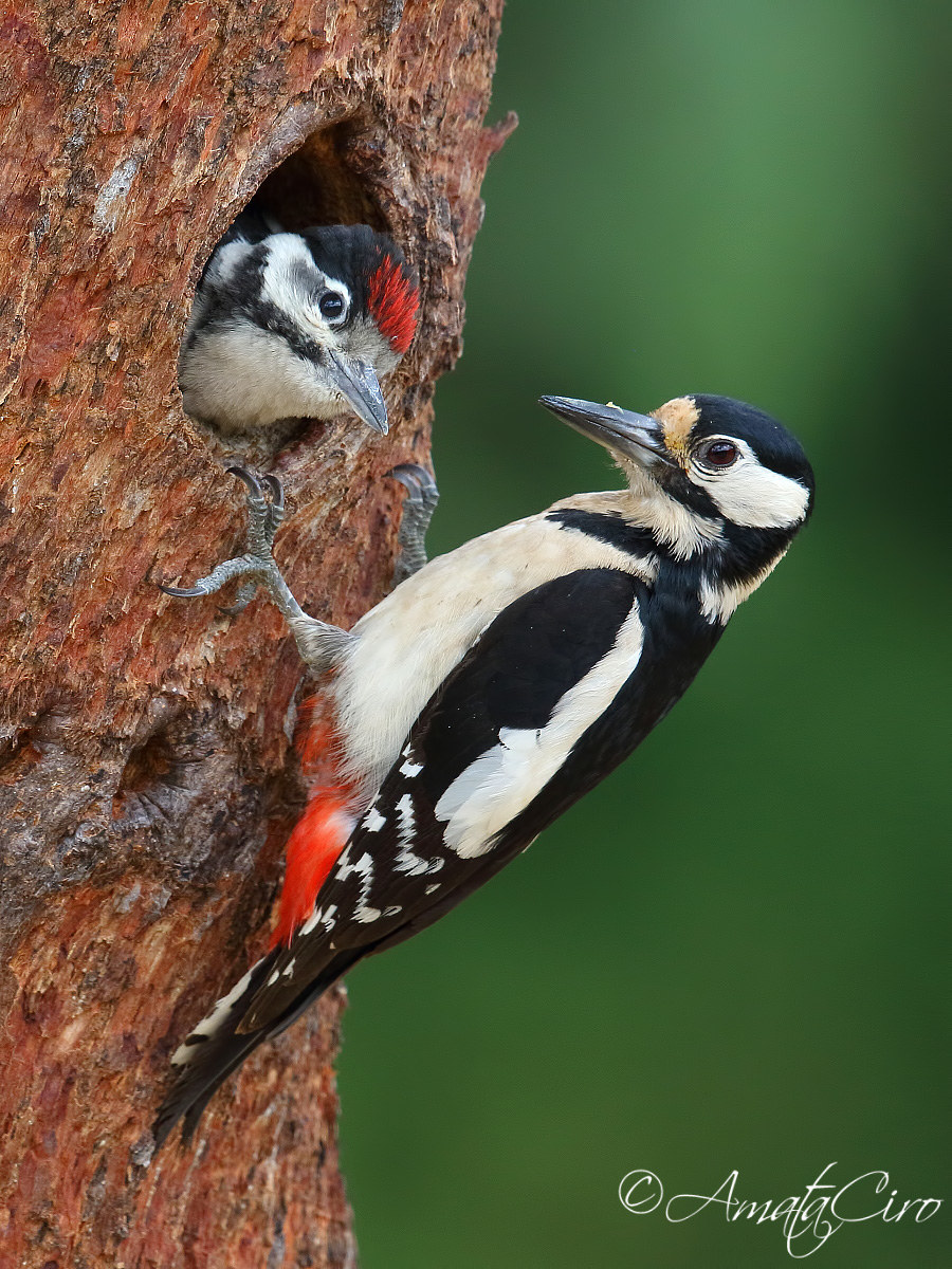 Big red woodpecker with young man...