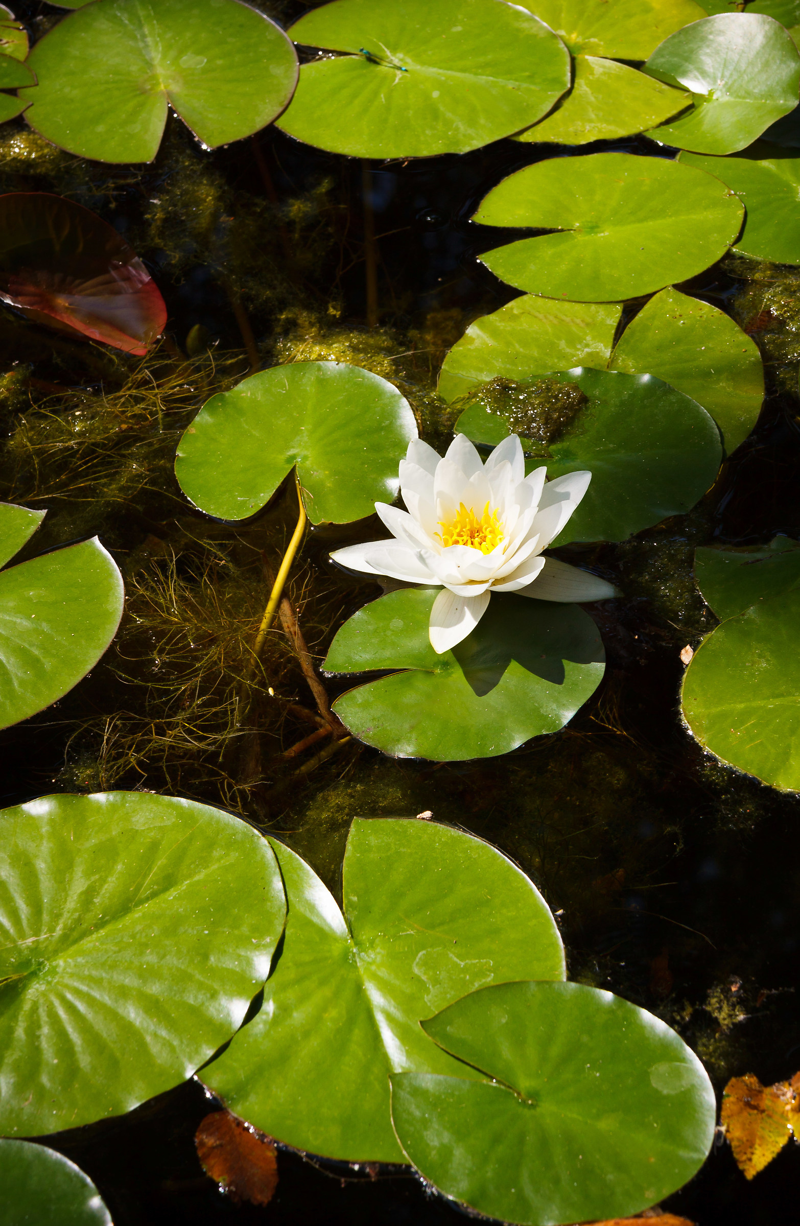 Rustic Water Lily...