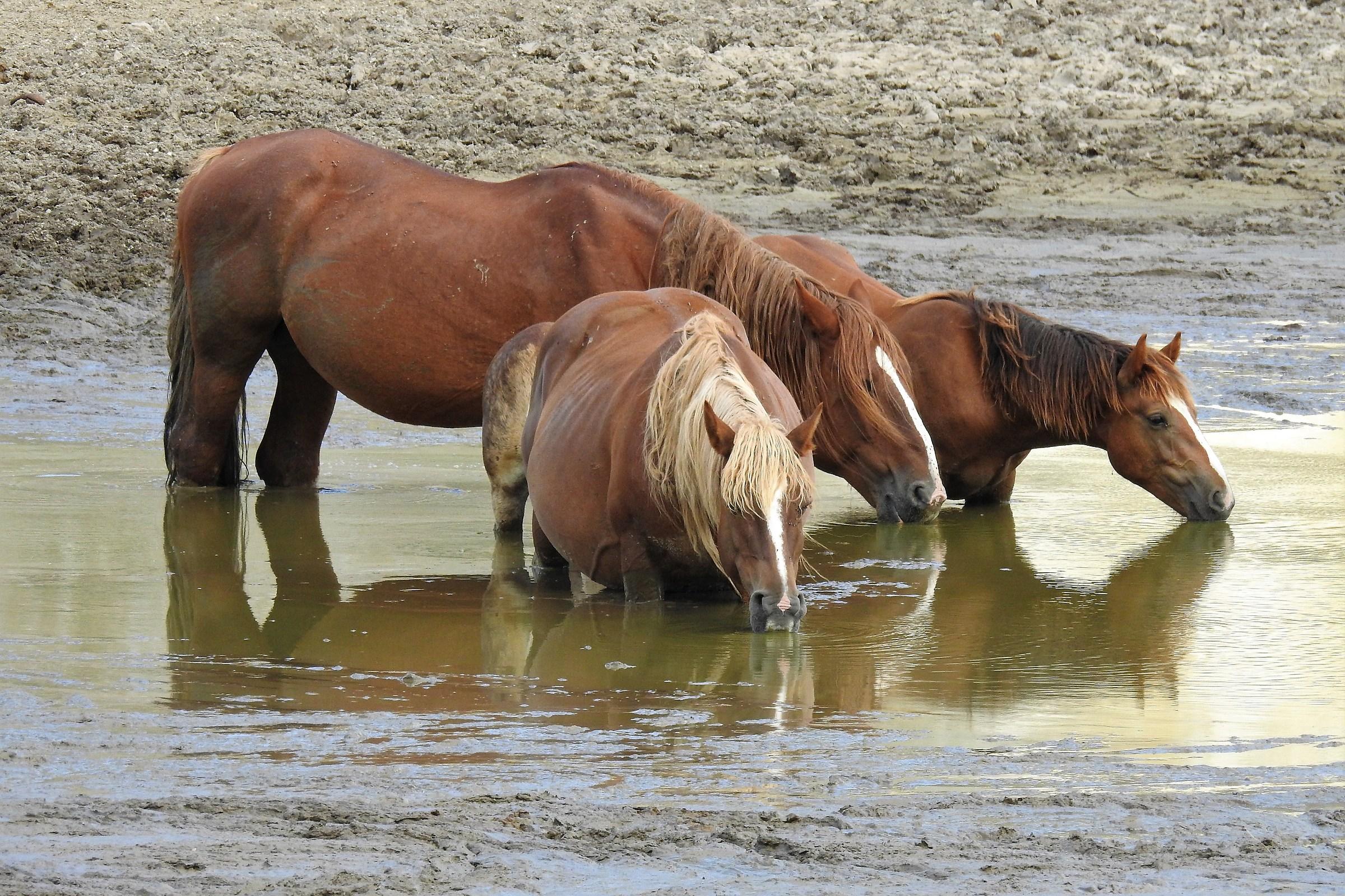 Horses in the brado-watering state...