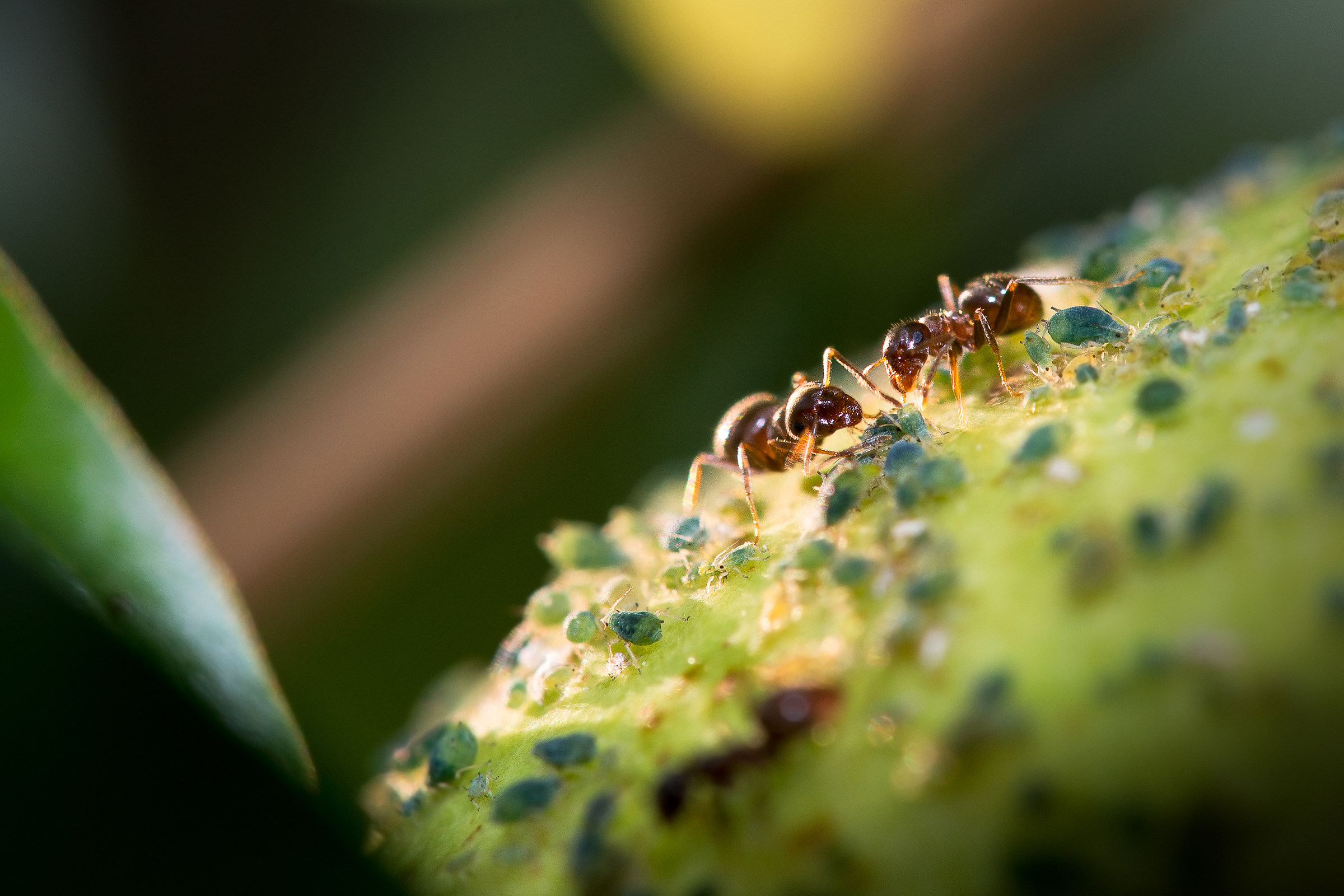 Aphids breeders worked...