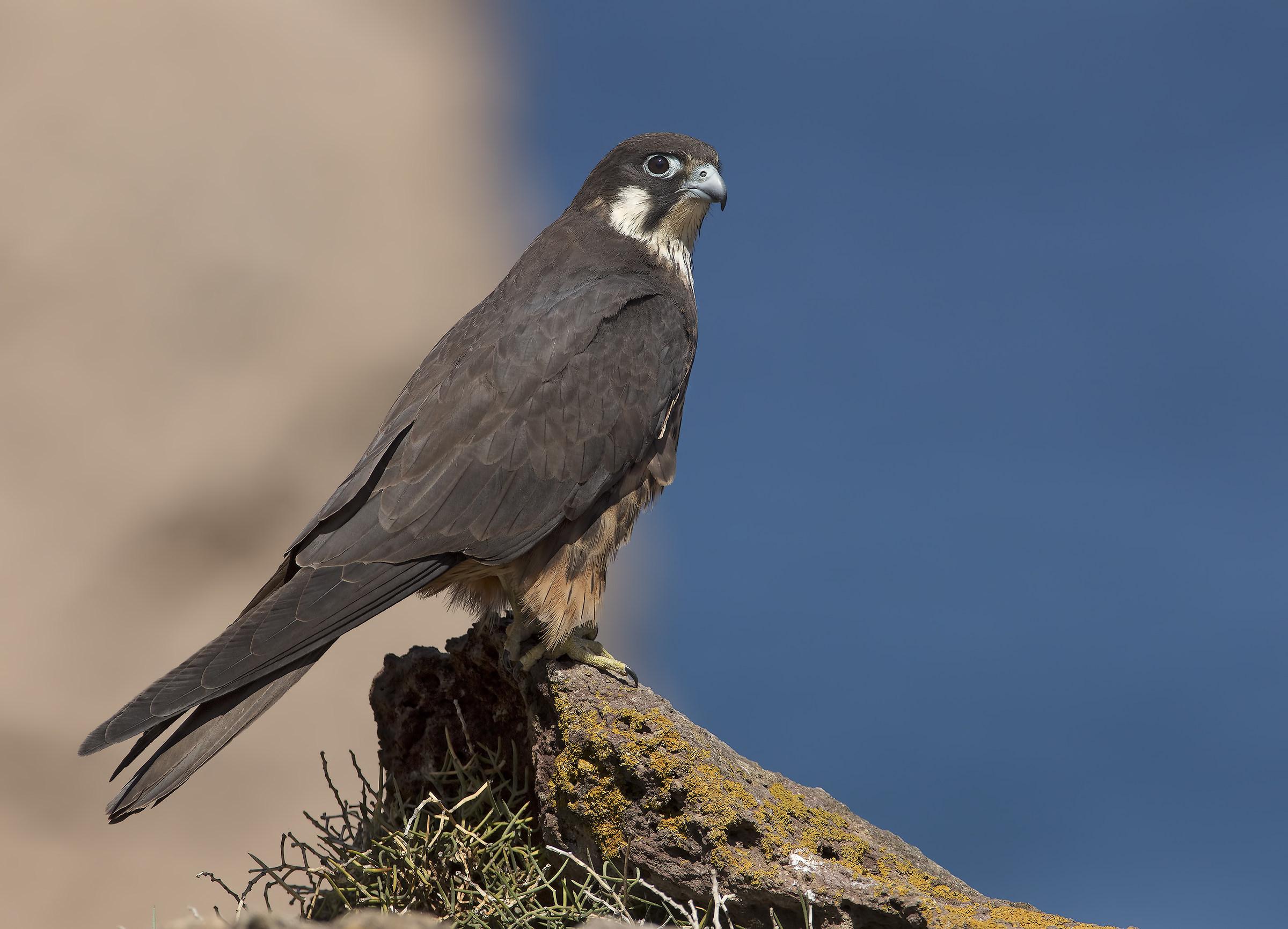 Falcon eleonorae...