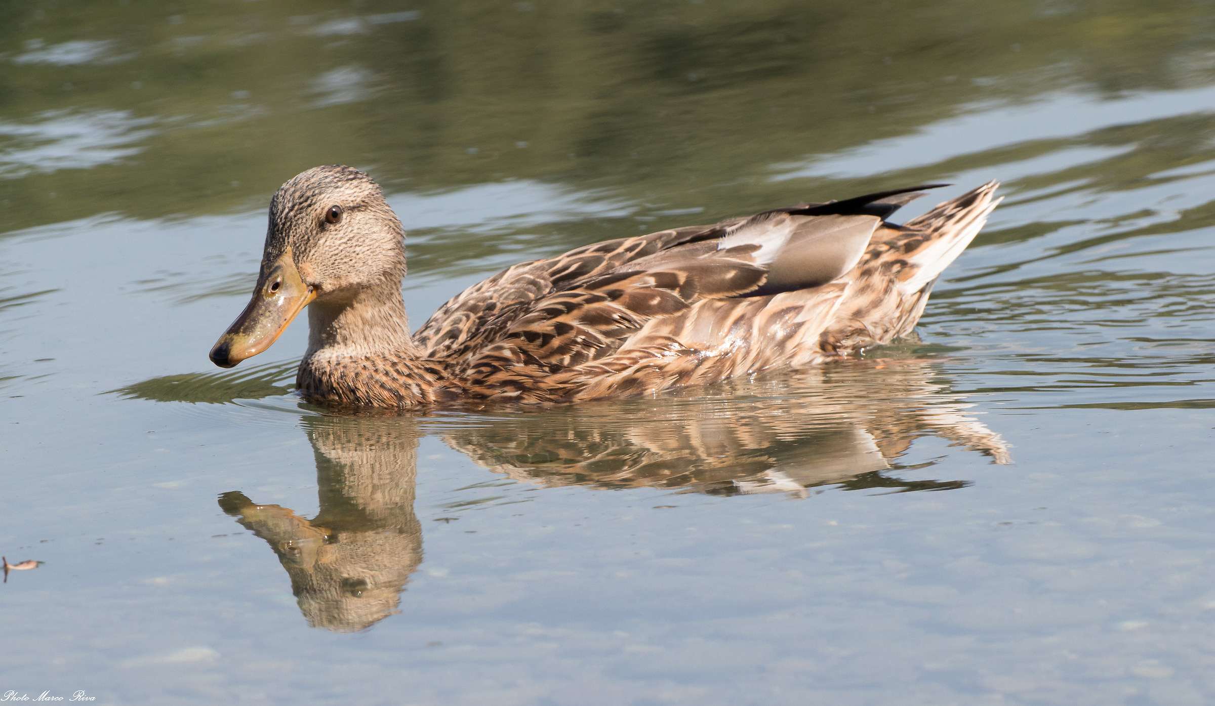 Duck...