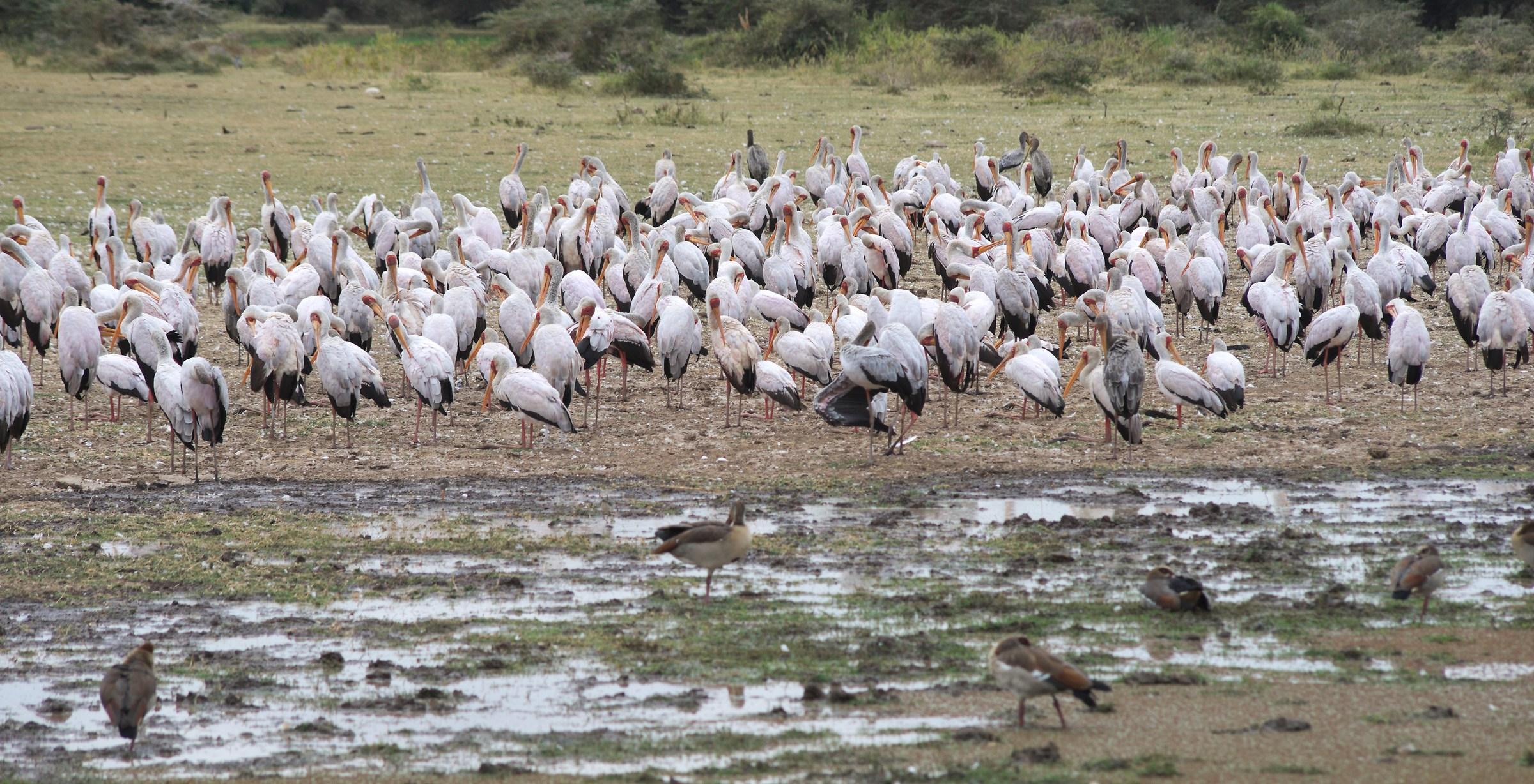 Mycteria ibis / Lago Manyara, Tanzania...