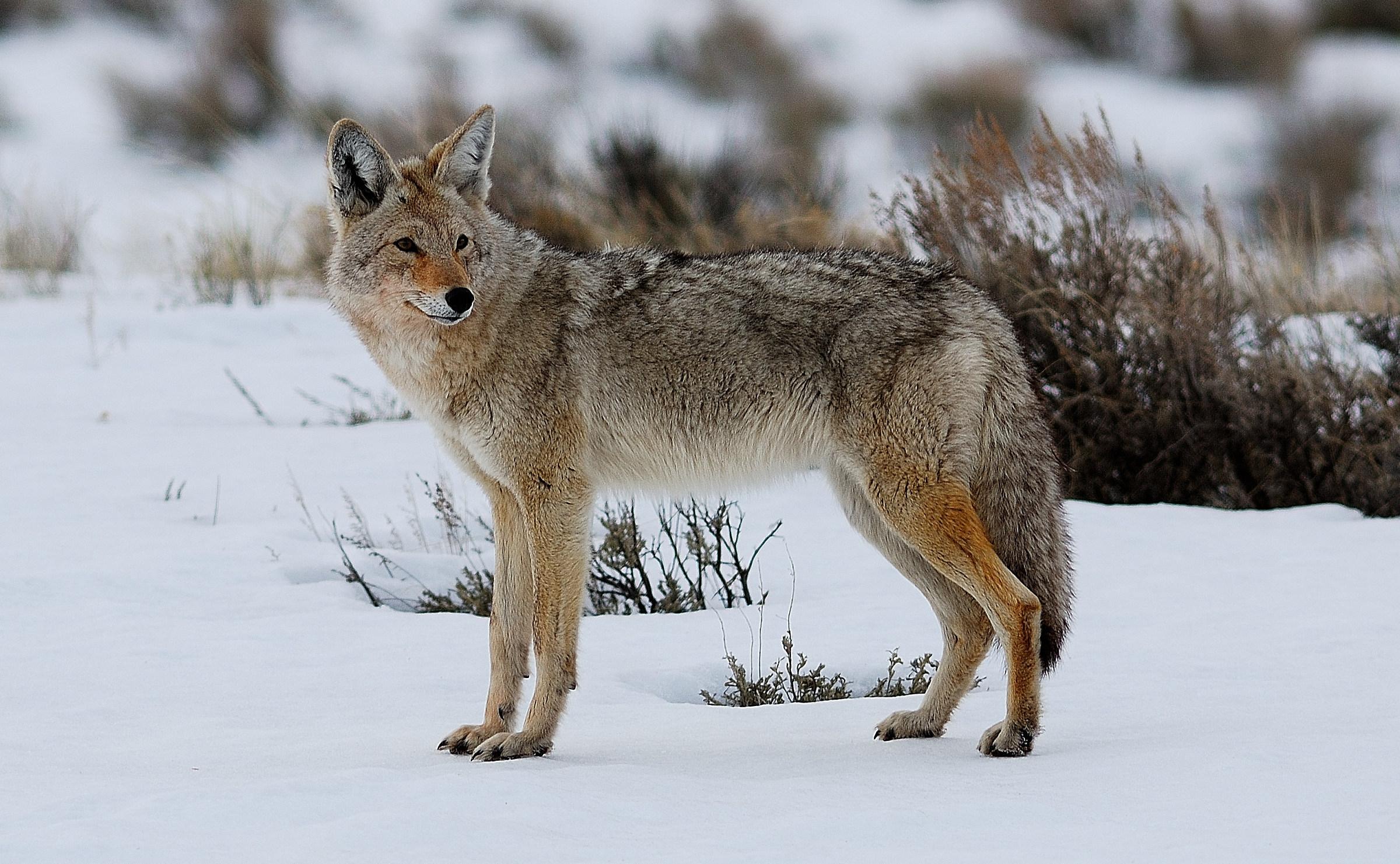a cojote...