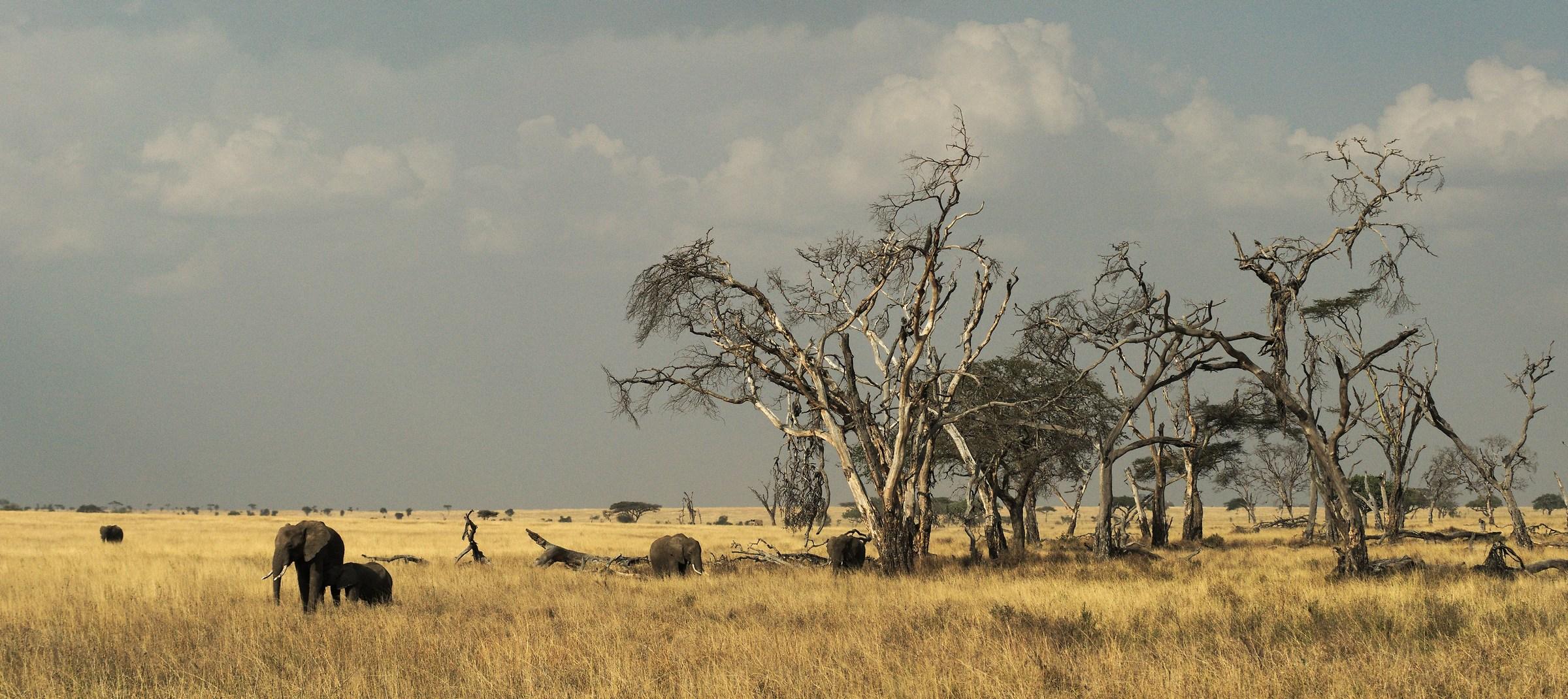 Elefanti nel Serengeti / Tanzania...