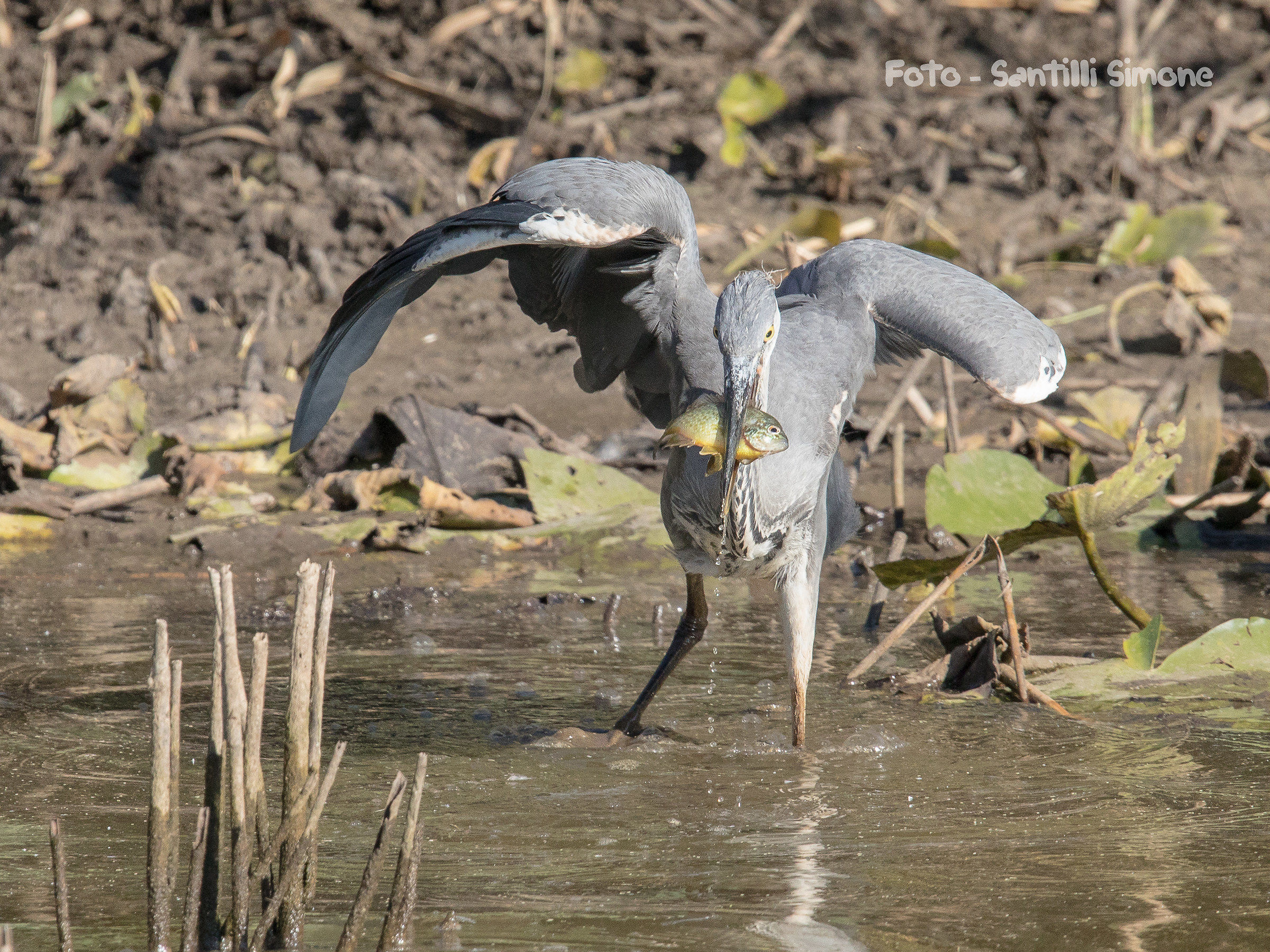 The expert and young heron...