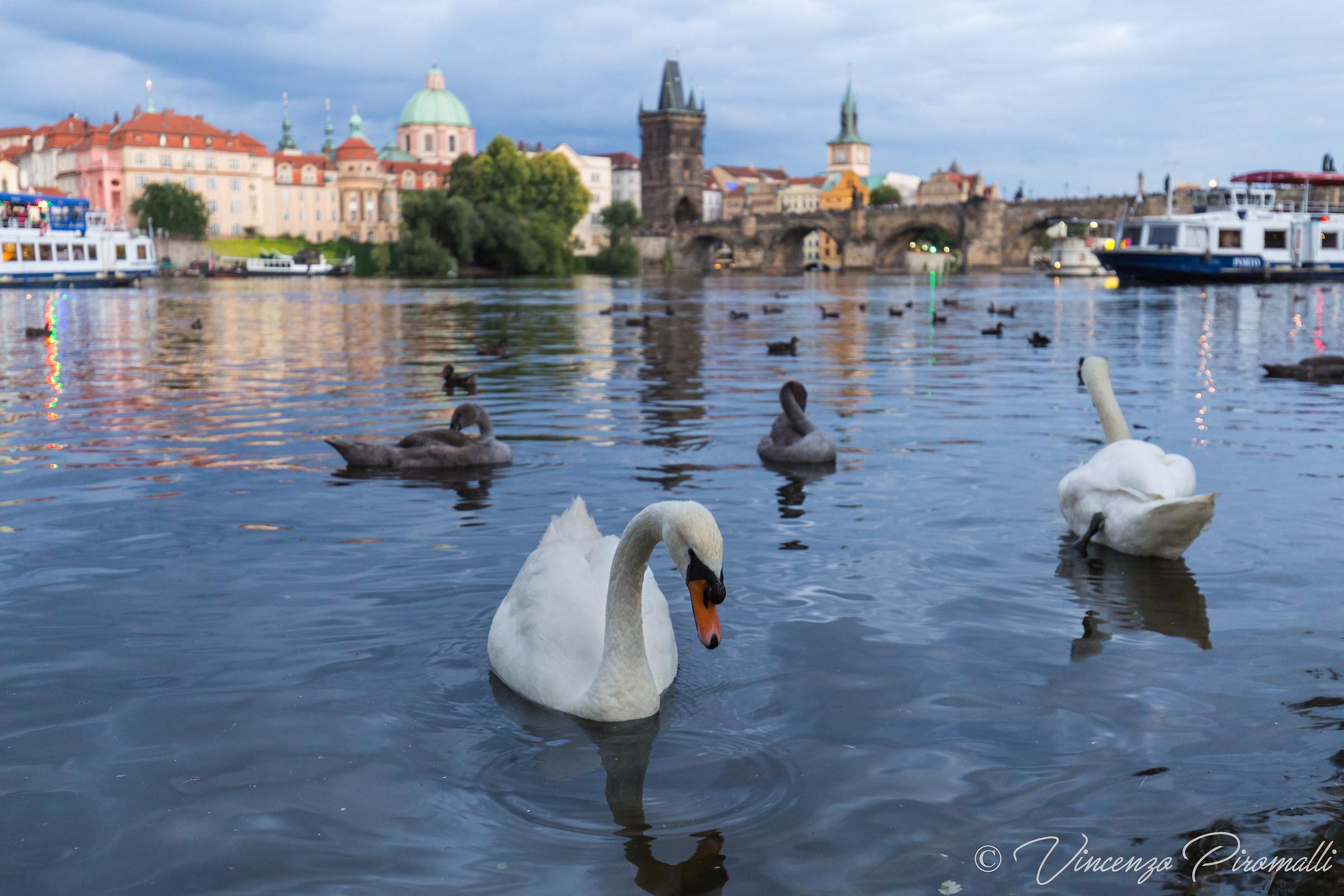 Swan in Moldava...