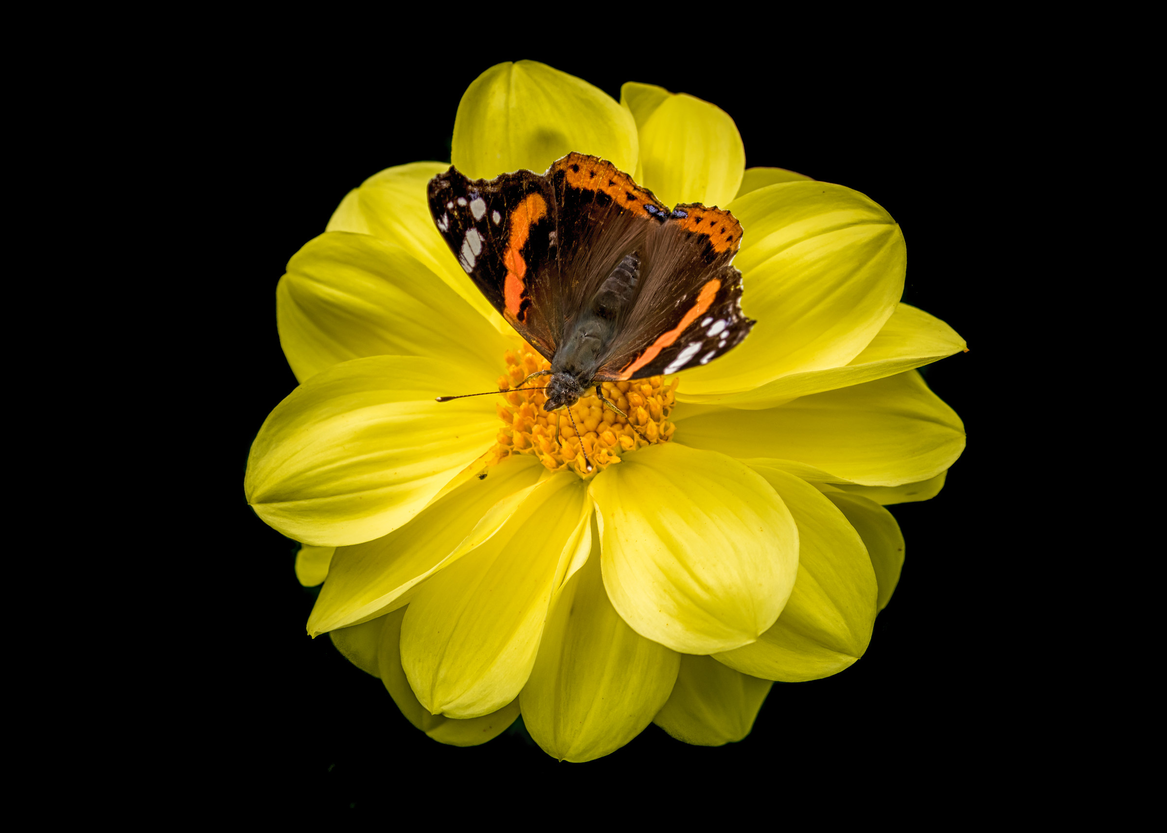Red Admiral On A Dahlia...