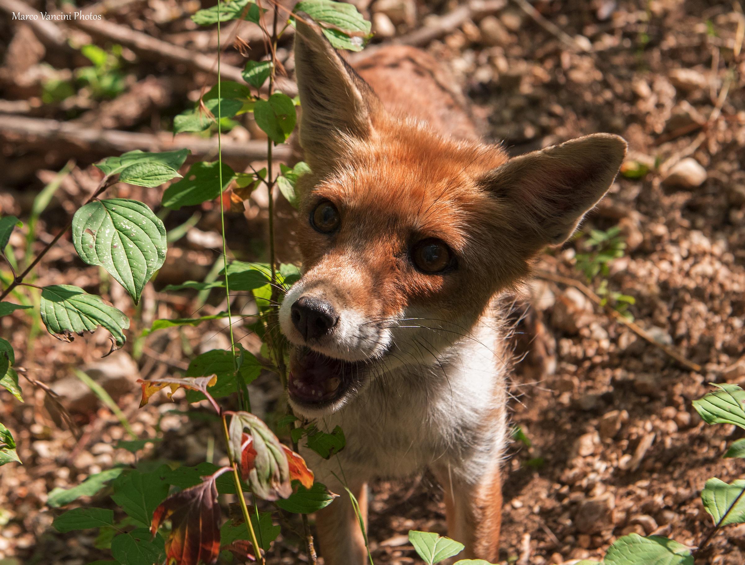 a fox...