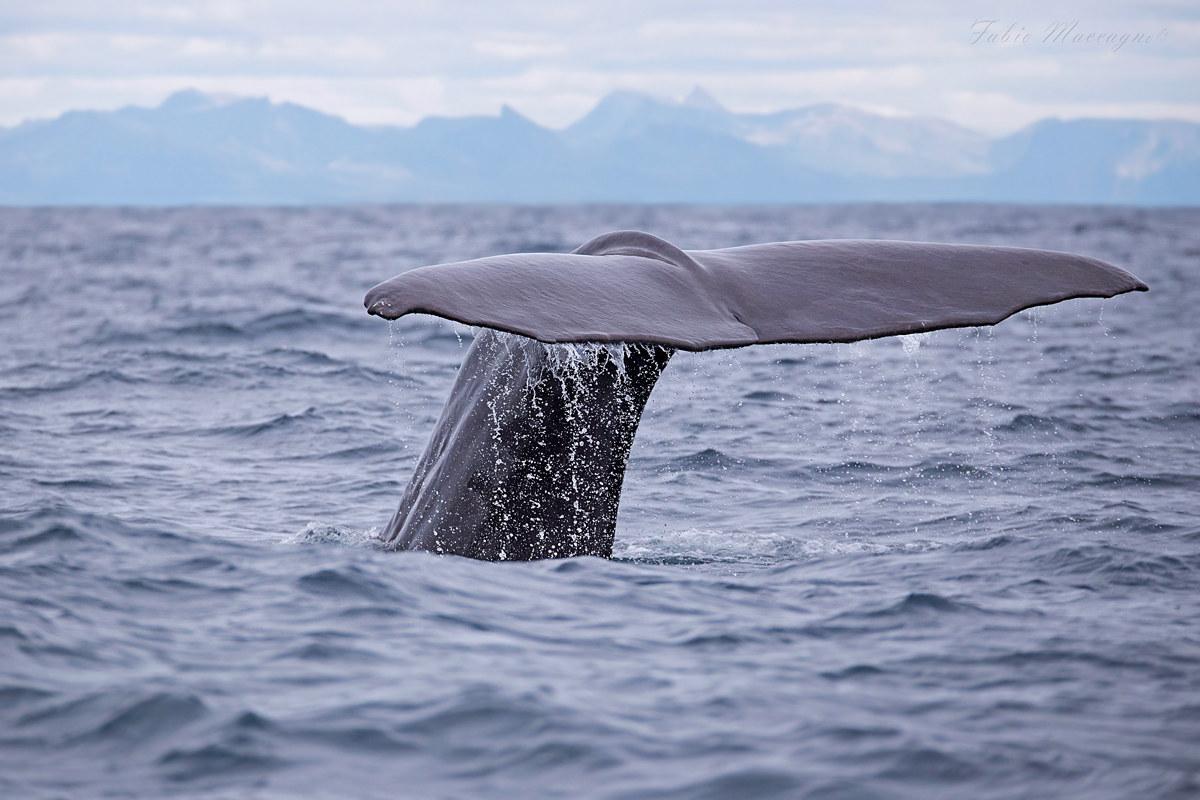 Sperm Whale - Capodoglio...