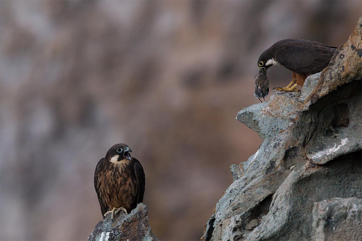 Queen Falcon / Eleonora's Falcon (Falco Eleonorae)...
