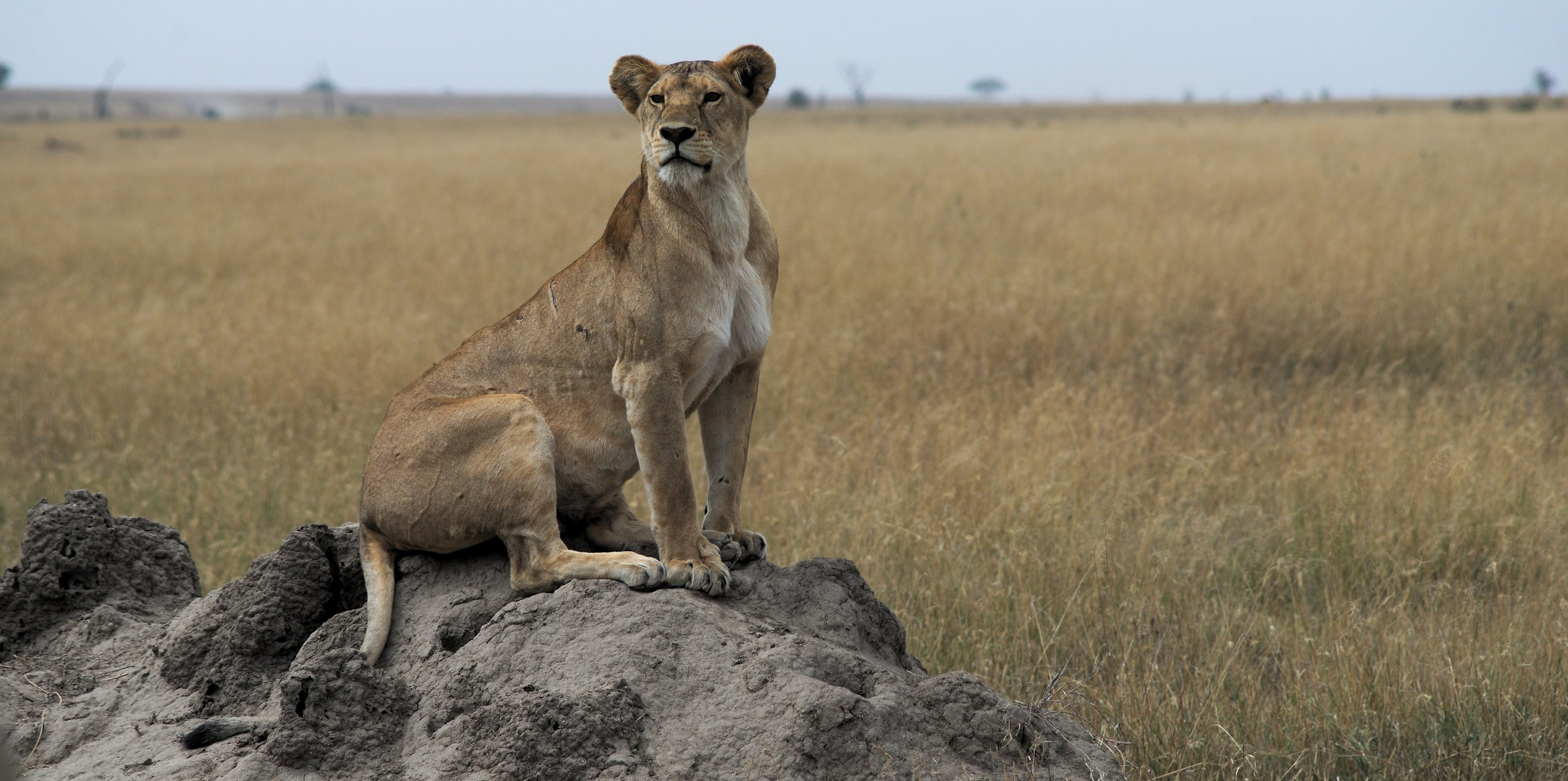 The proud look of the Queen / Serengeti Tanzania...