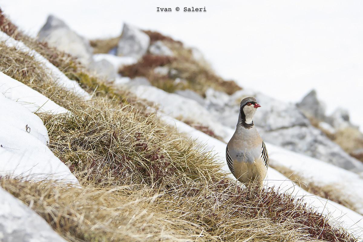 Partridge...