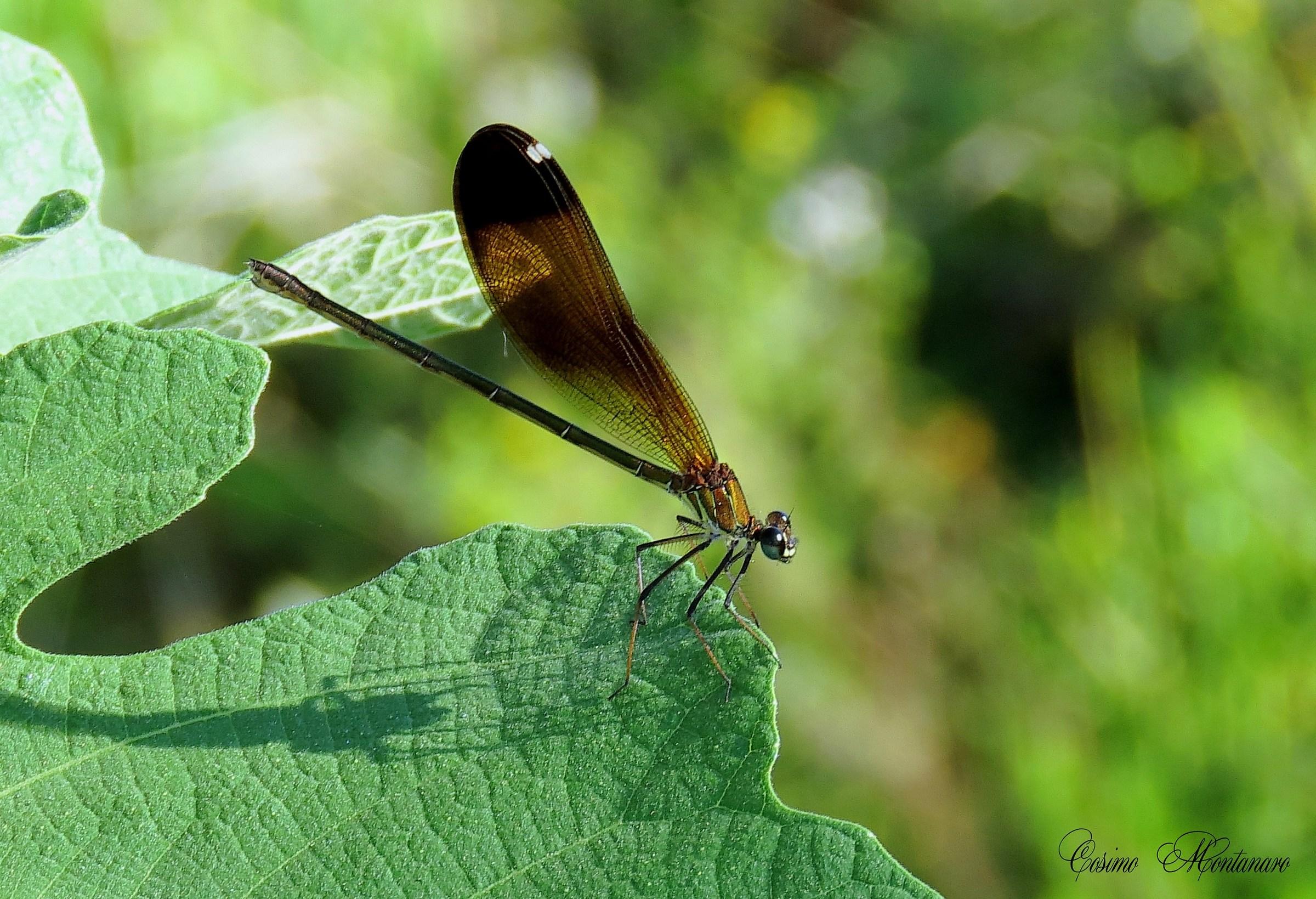 Calopteryx haemorrhoidal & female;...