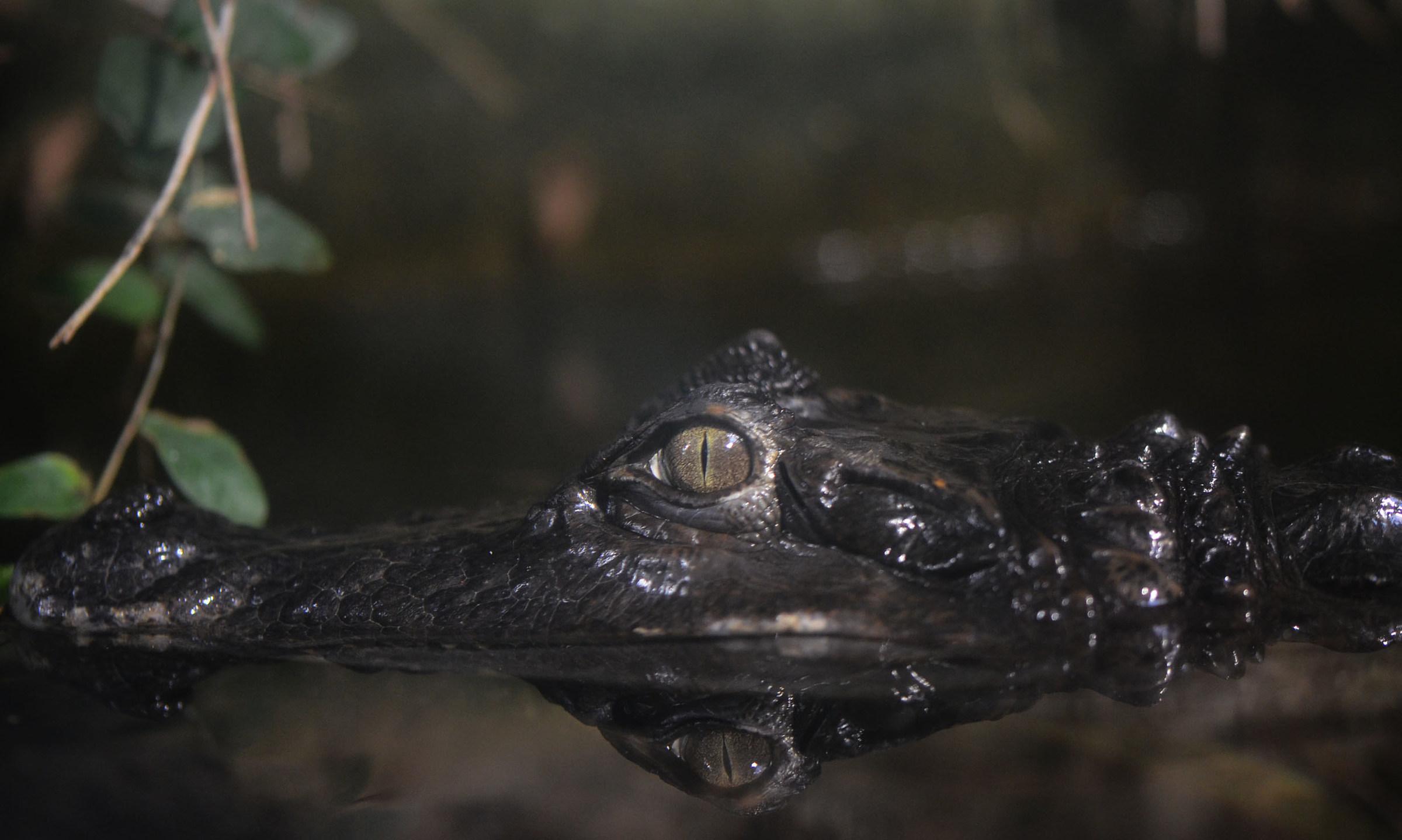 The crocodile is like ......