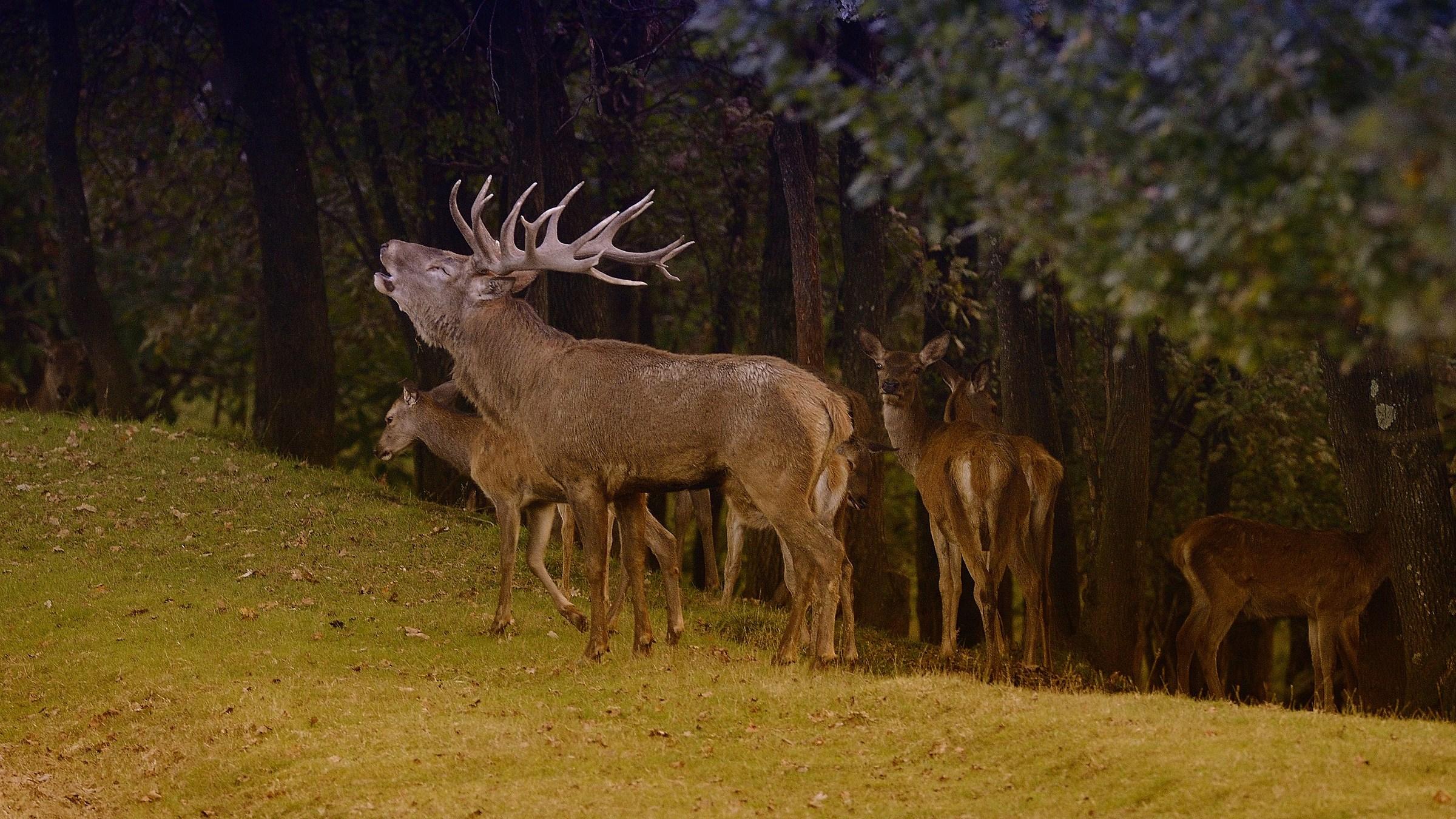 The roar of the deer...