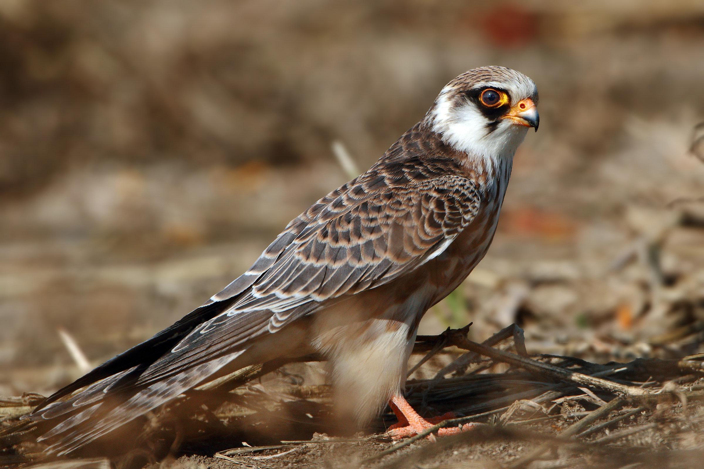 Portrait of female cuckoo hawk...