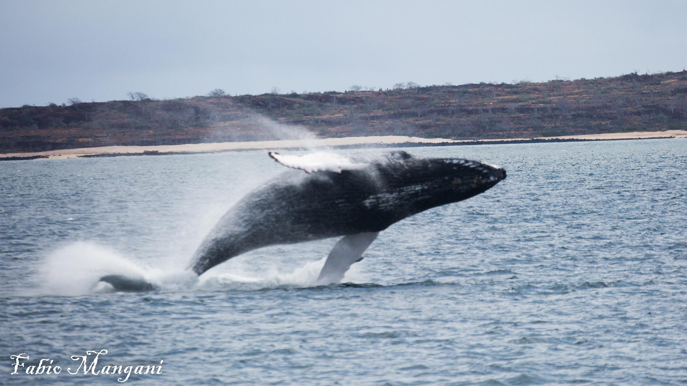 Humpback Whale...