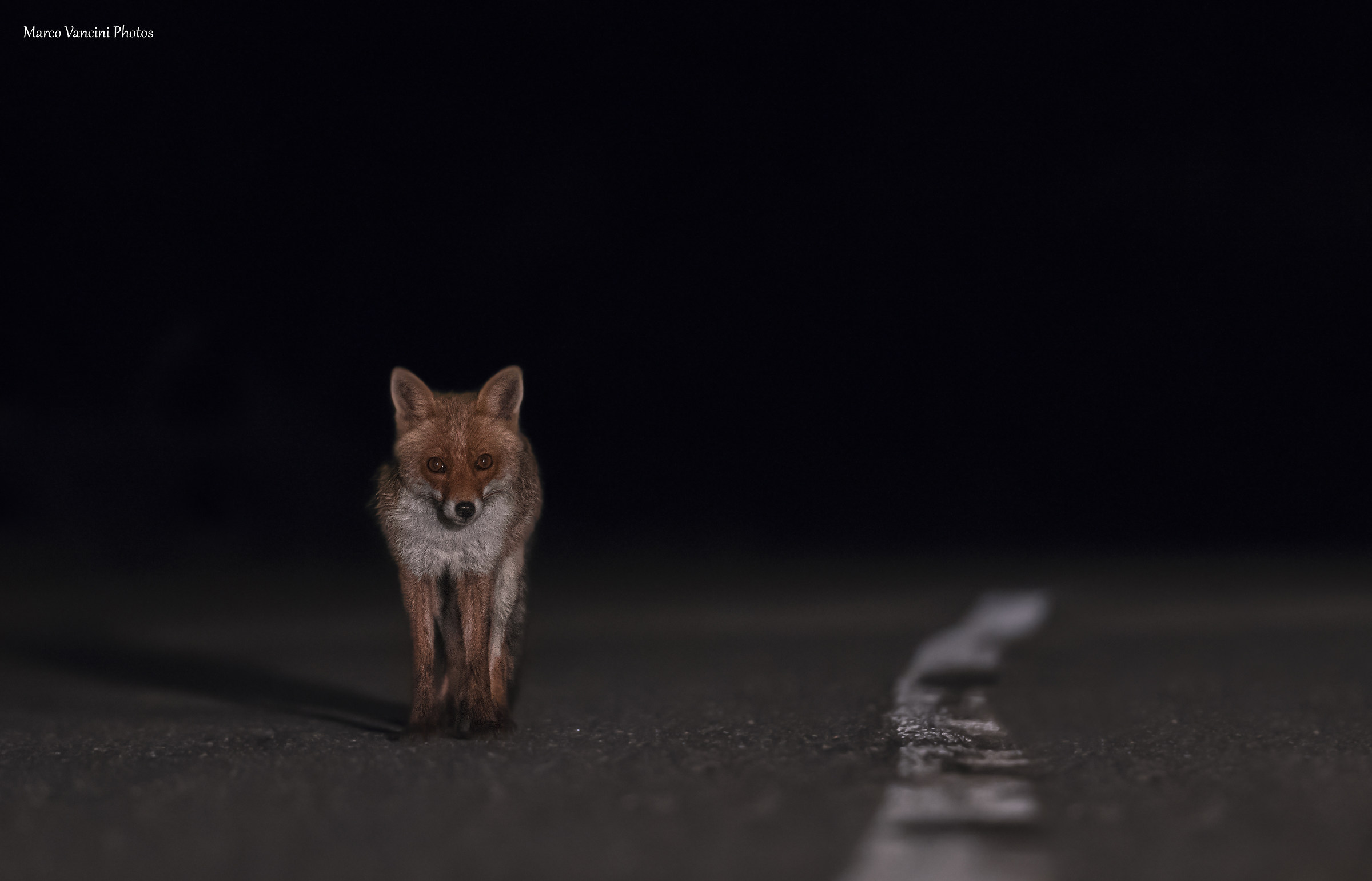 fox at night...