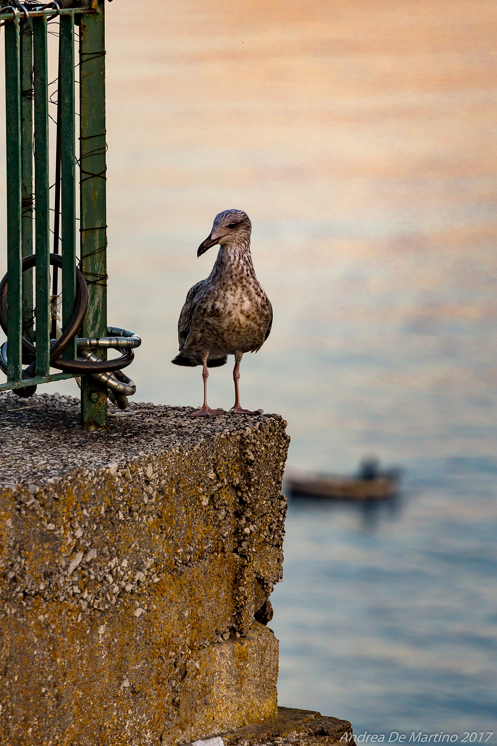 The dawn of the seagull...