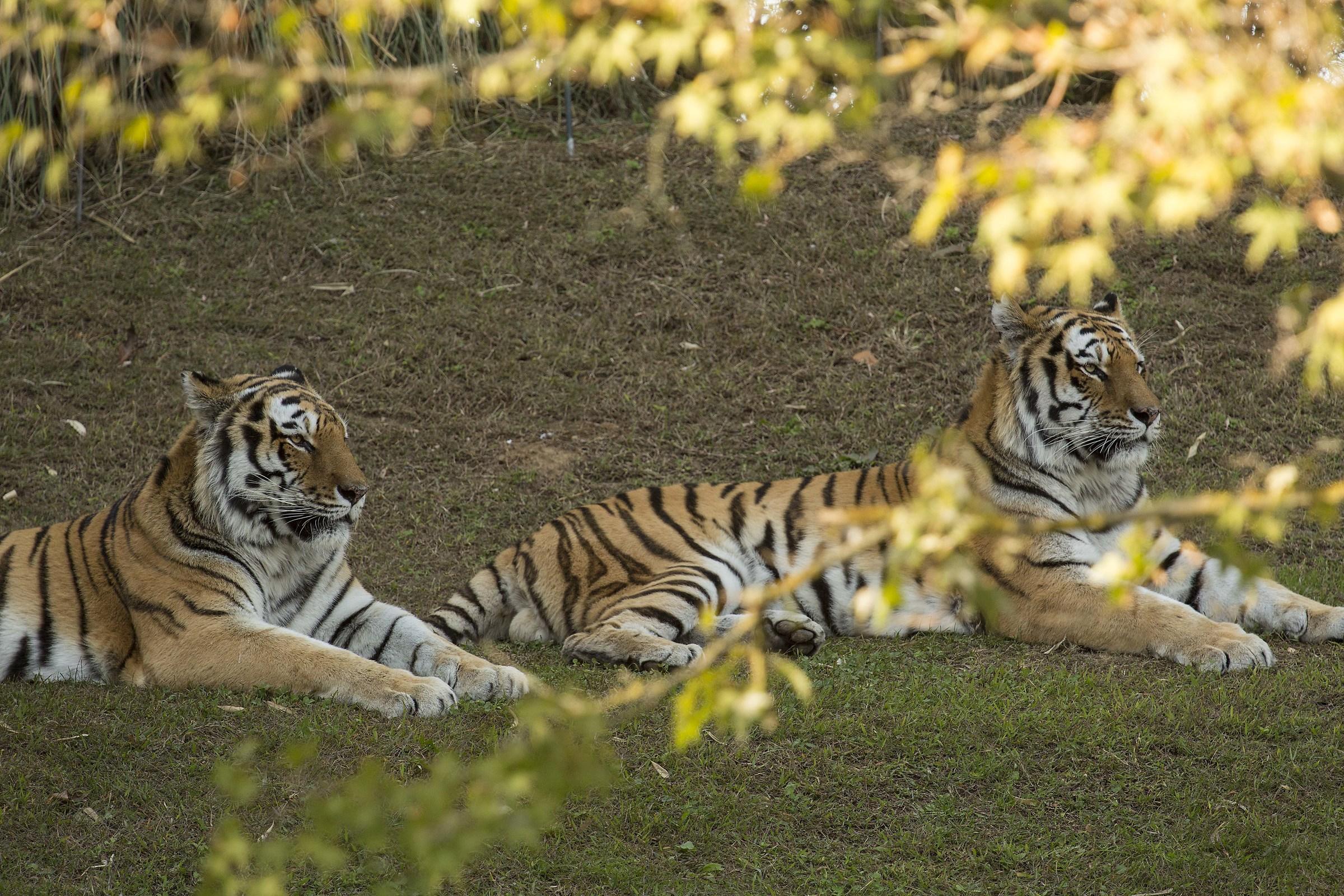 Tigers, Zomm Turin....