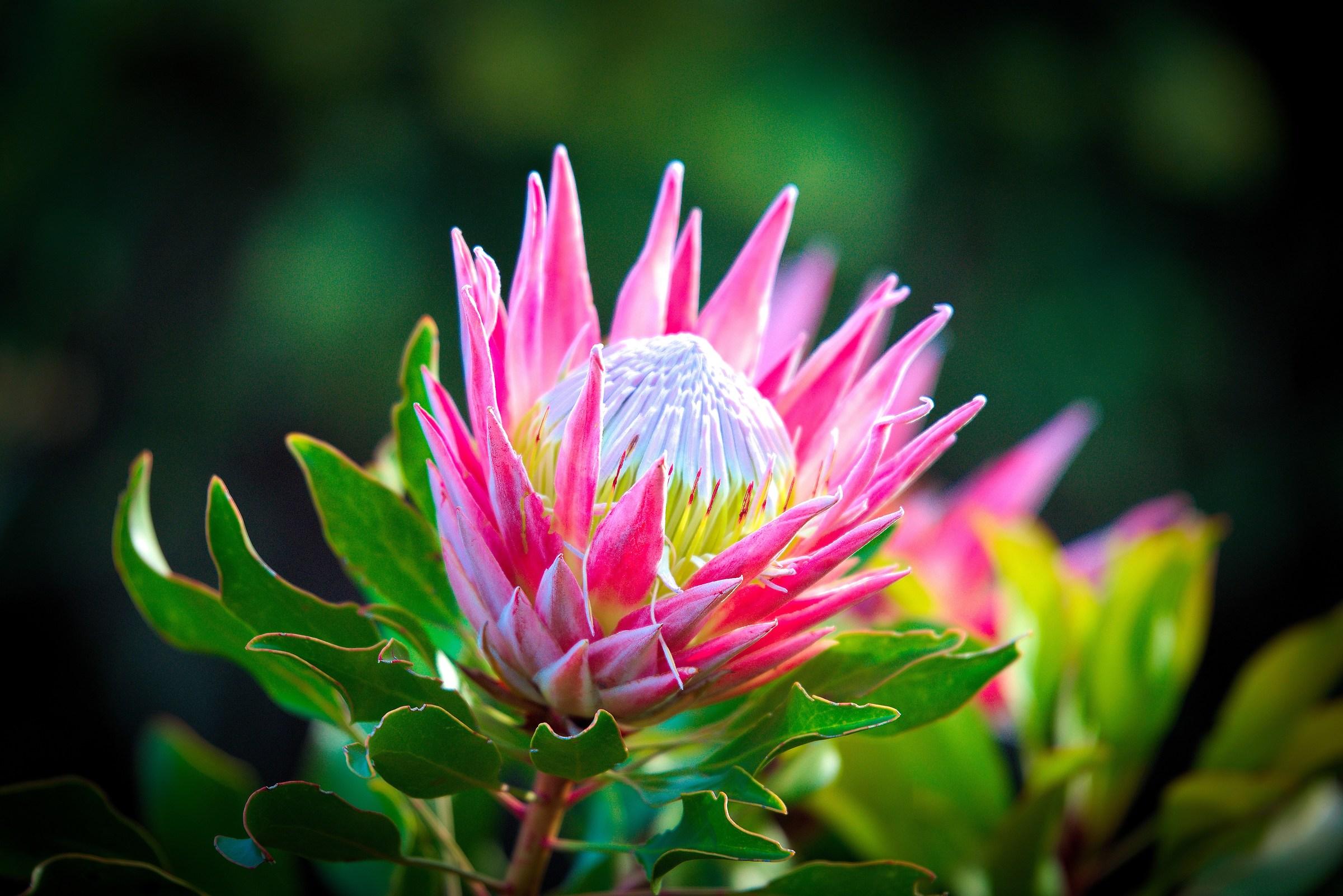 Protea, fiore tipico del Sud Africa...