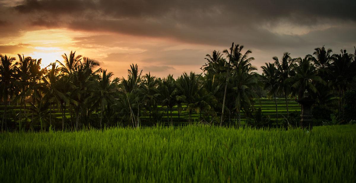Tramonto sui campi di riso...