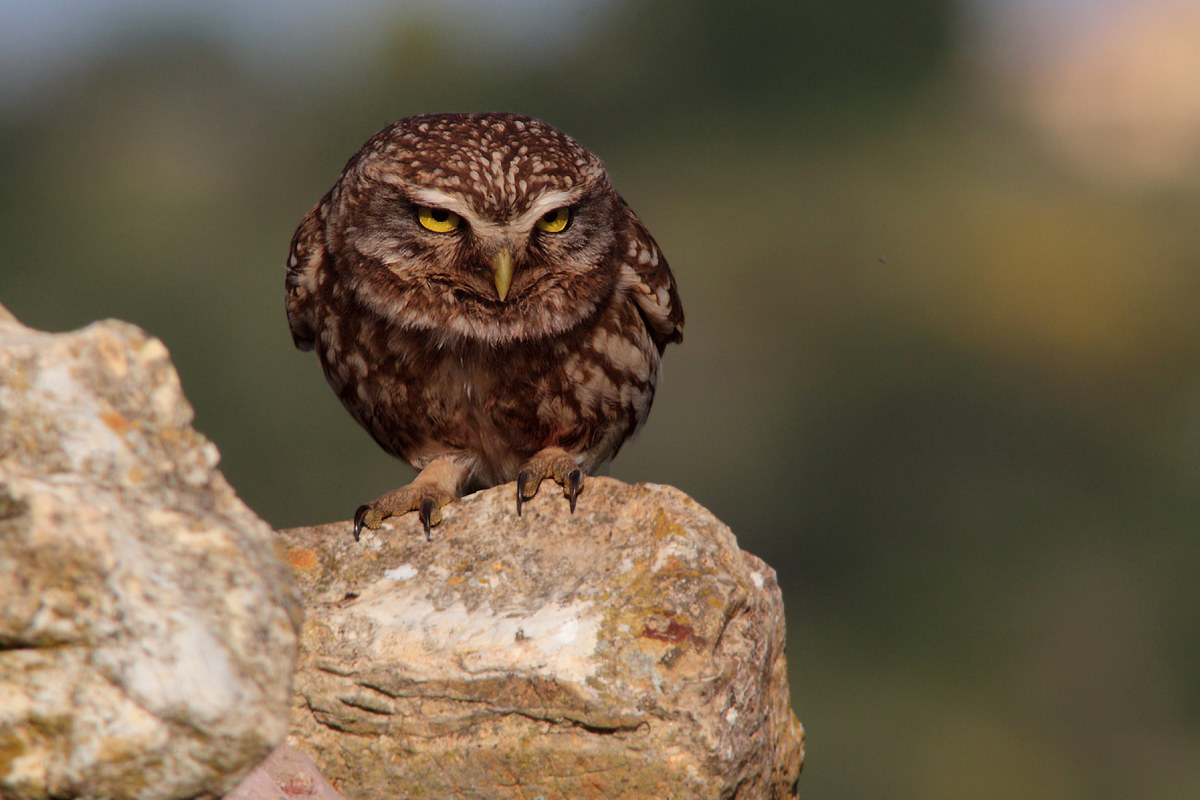 The owl while pointing...