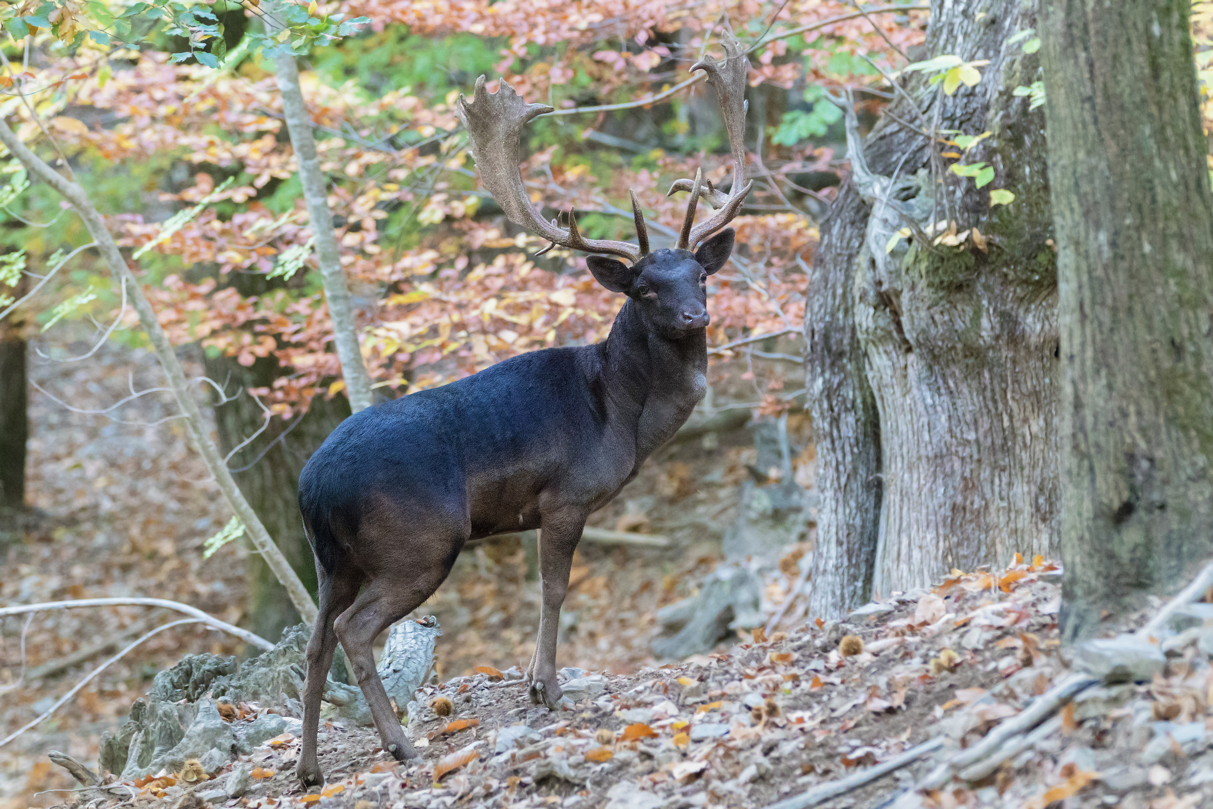 fallow deer...