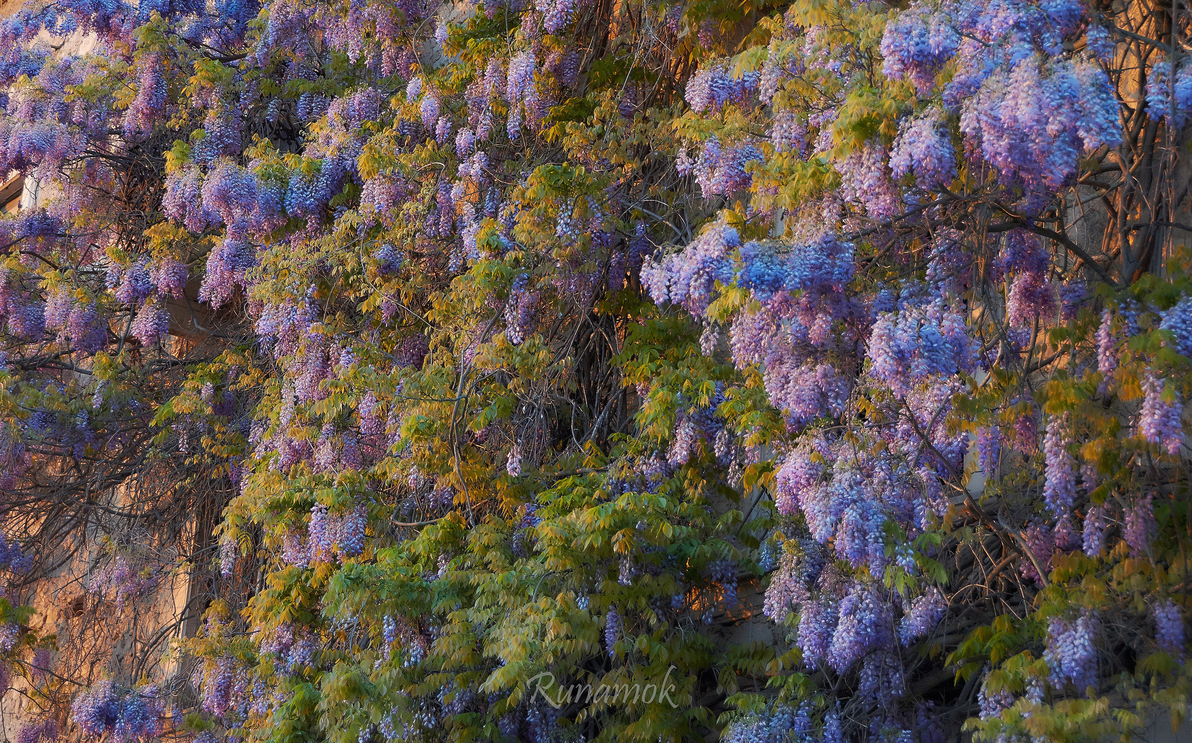 Centenarian wisteria...