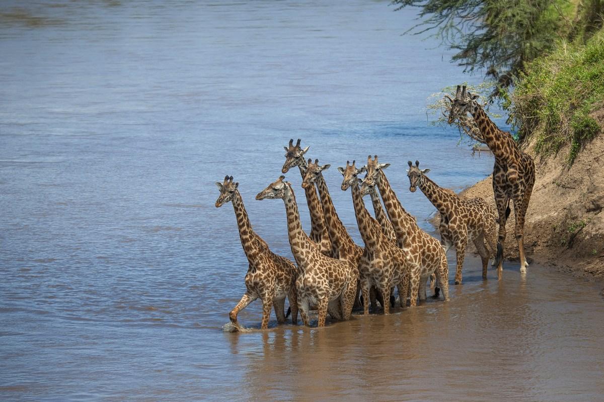 Giraffe sul Mara river...