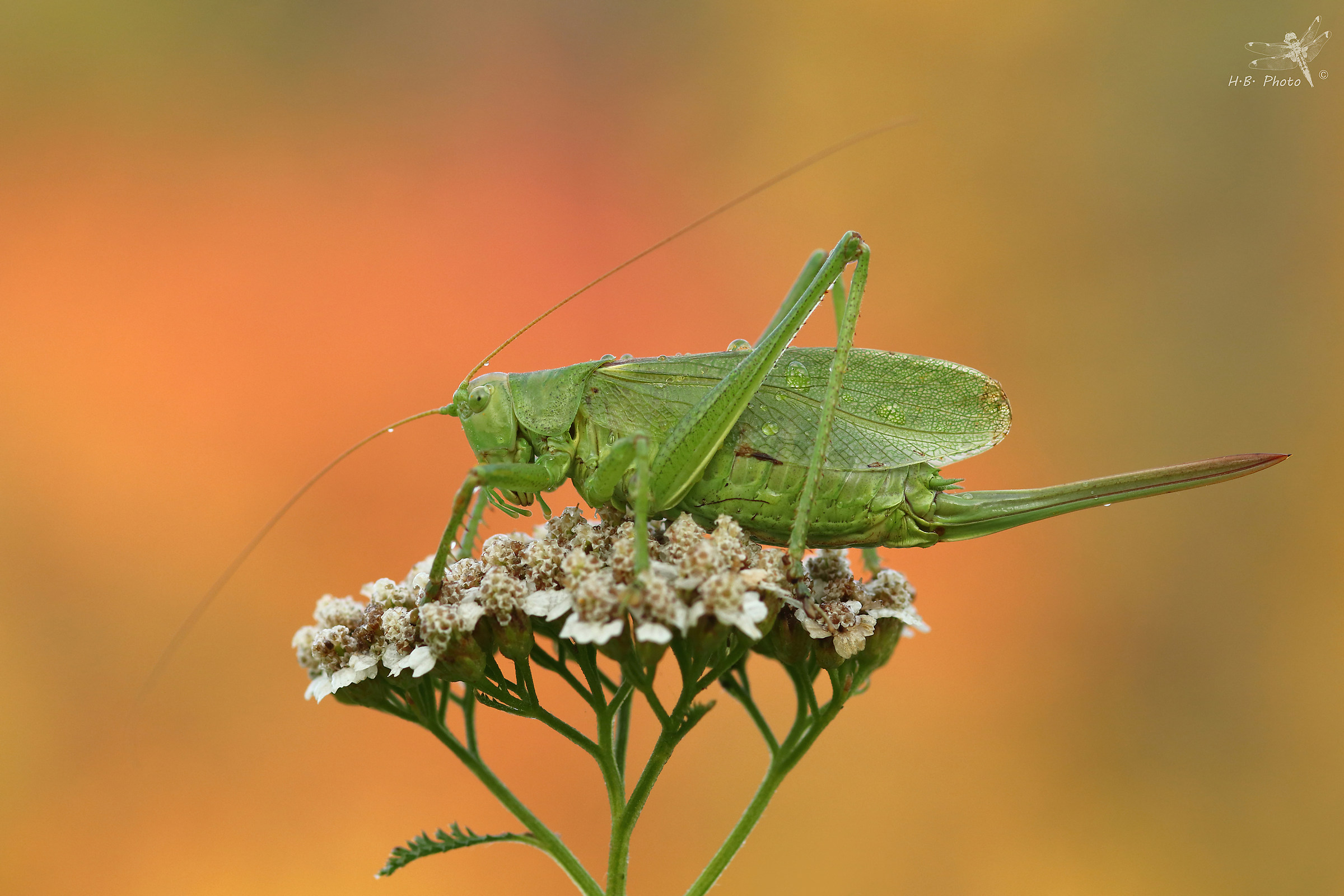 Tettigonia cantans , female...