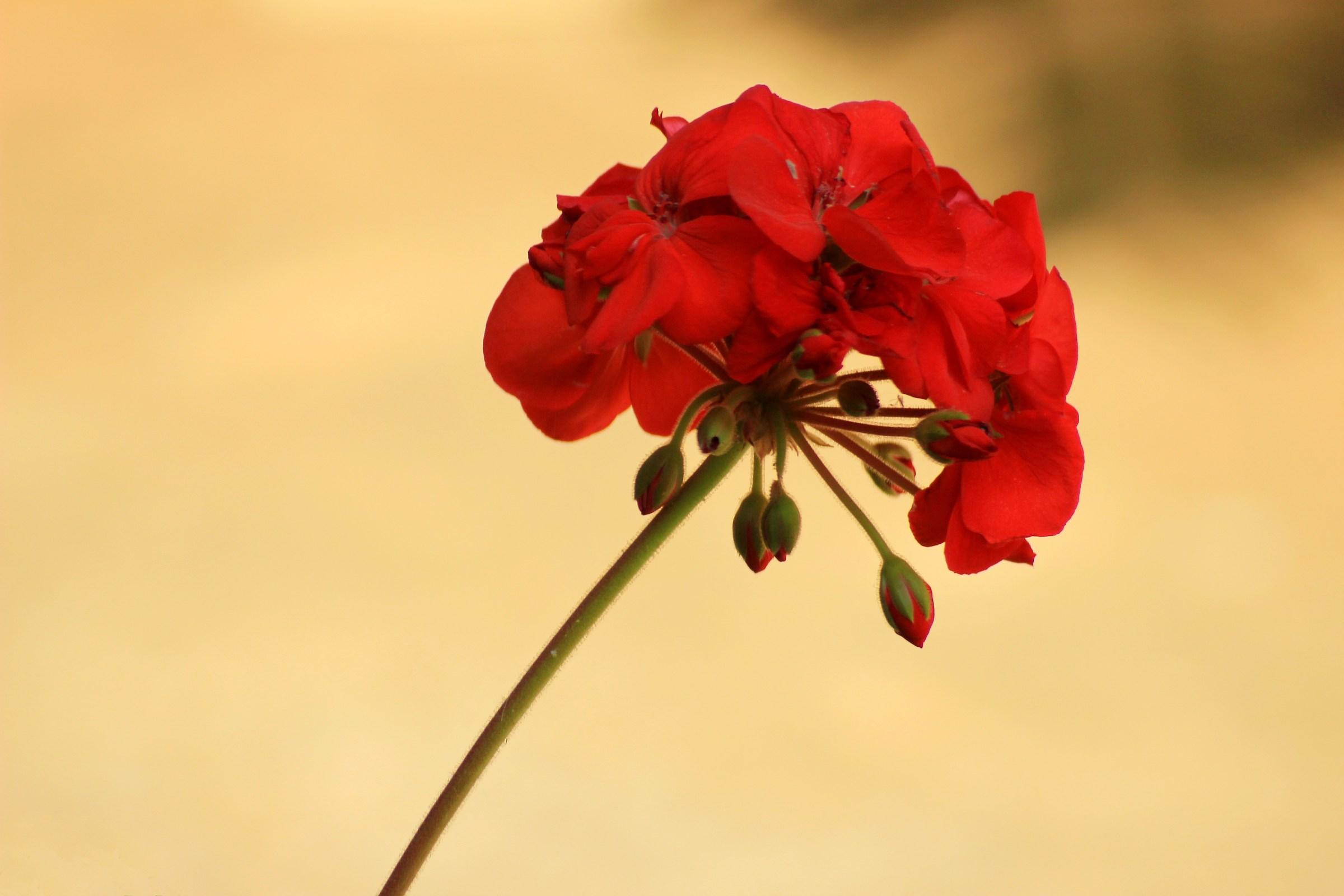 Il geranio rosso...